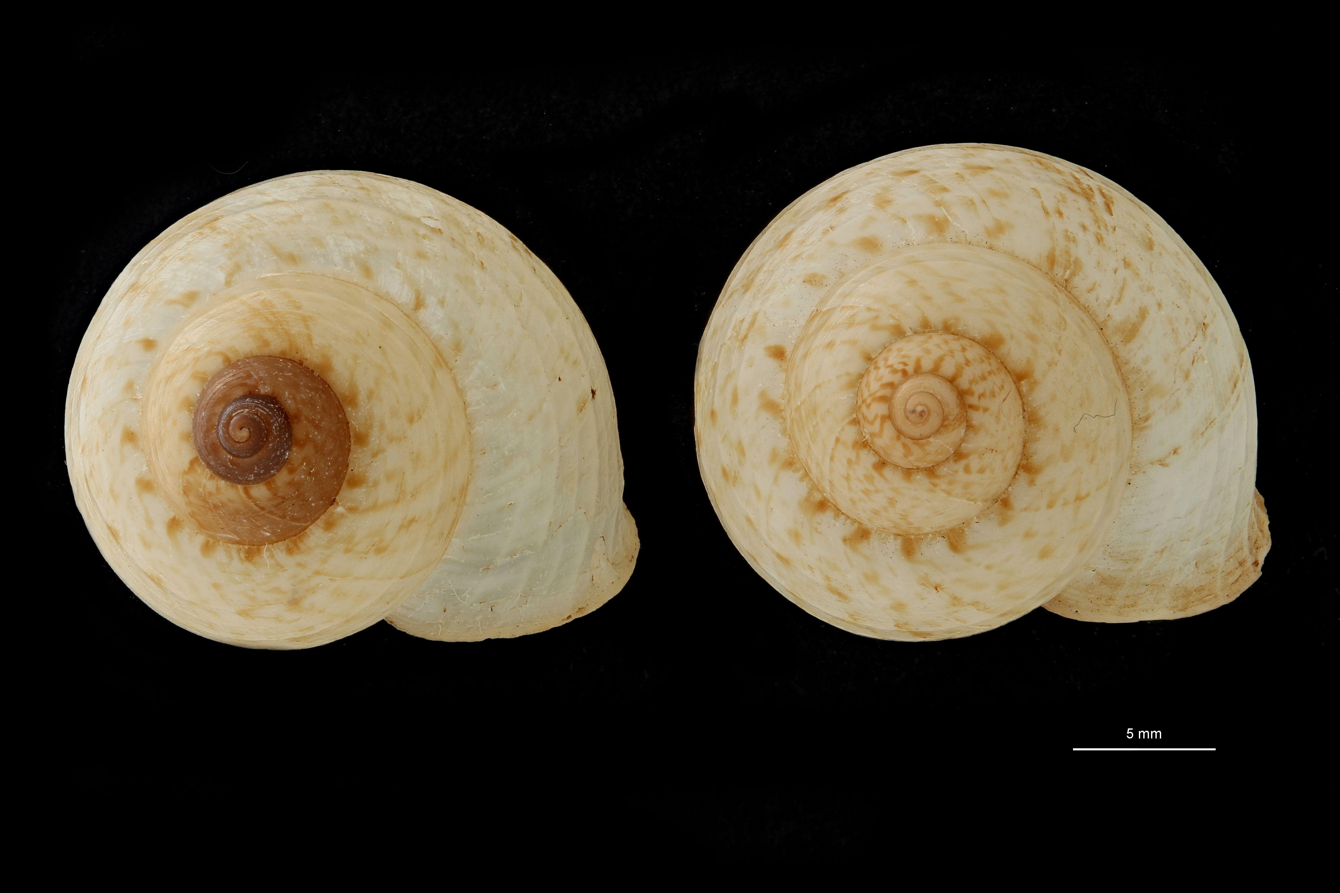 BE-RBINS-INV PARATYPE MT 896 Cyclophorus fernandezi var. occidentalis GROUPE.jpg
