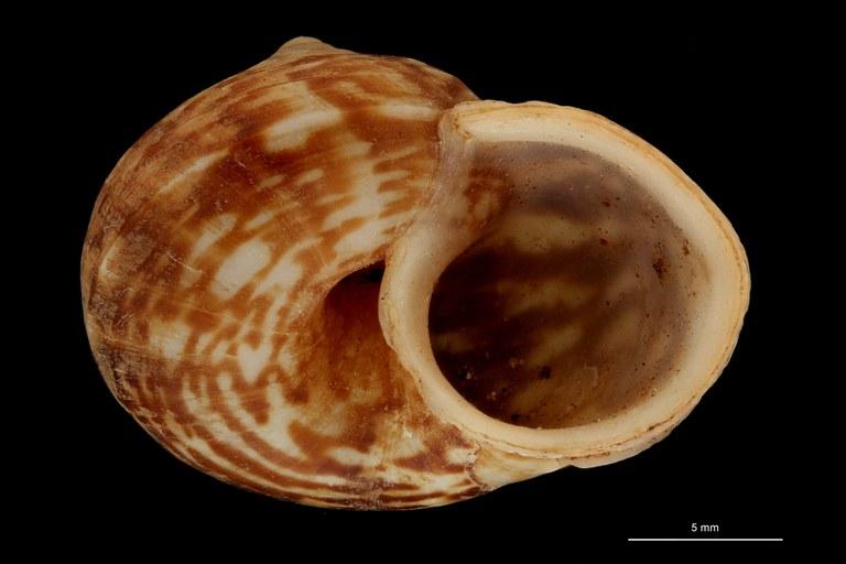 BE-RBINS-INV PARATYPE MT 893 Cyclophorus (Glossostylus) coronensis FRONTAL.jpg