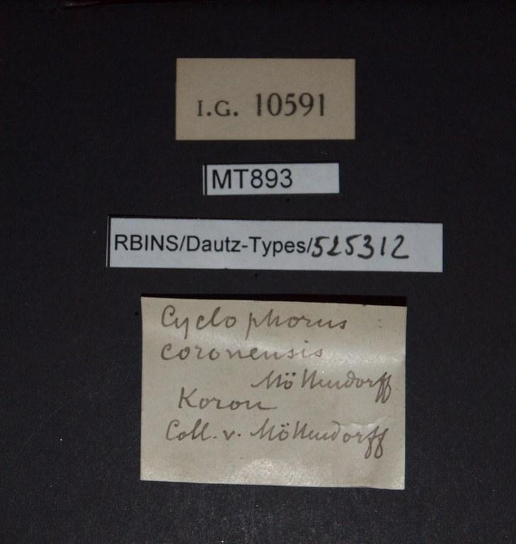 BE-RBINS-INV PARATYPE MT 893 Cyclophorus (Glossostylus) coronensis LABELS.jpg