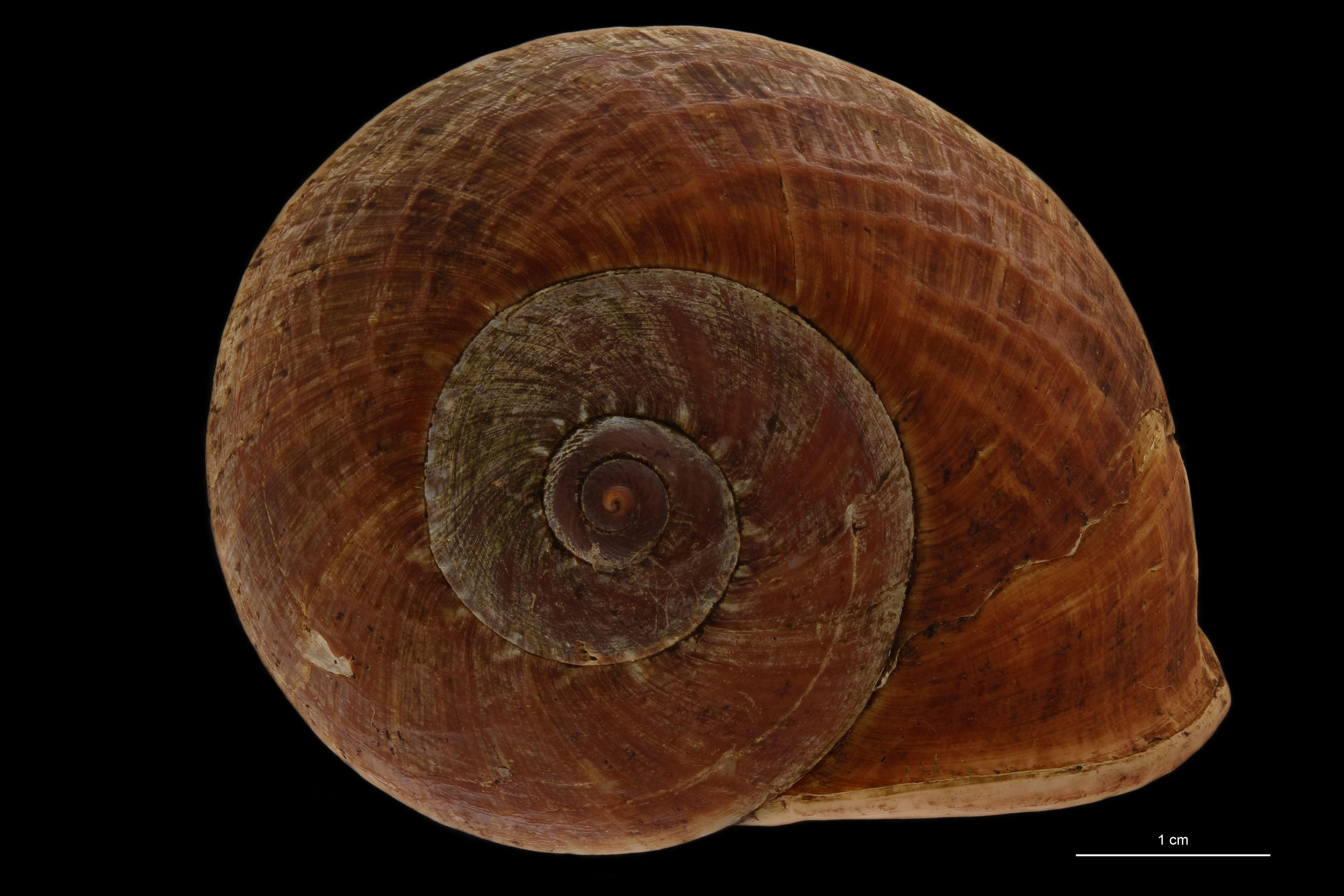 BE-RBINS-INV MT 895 Cyclophorus (Glossostylus) egregius pt D.jpg