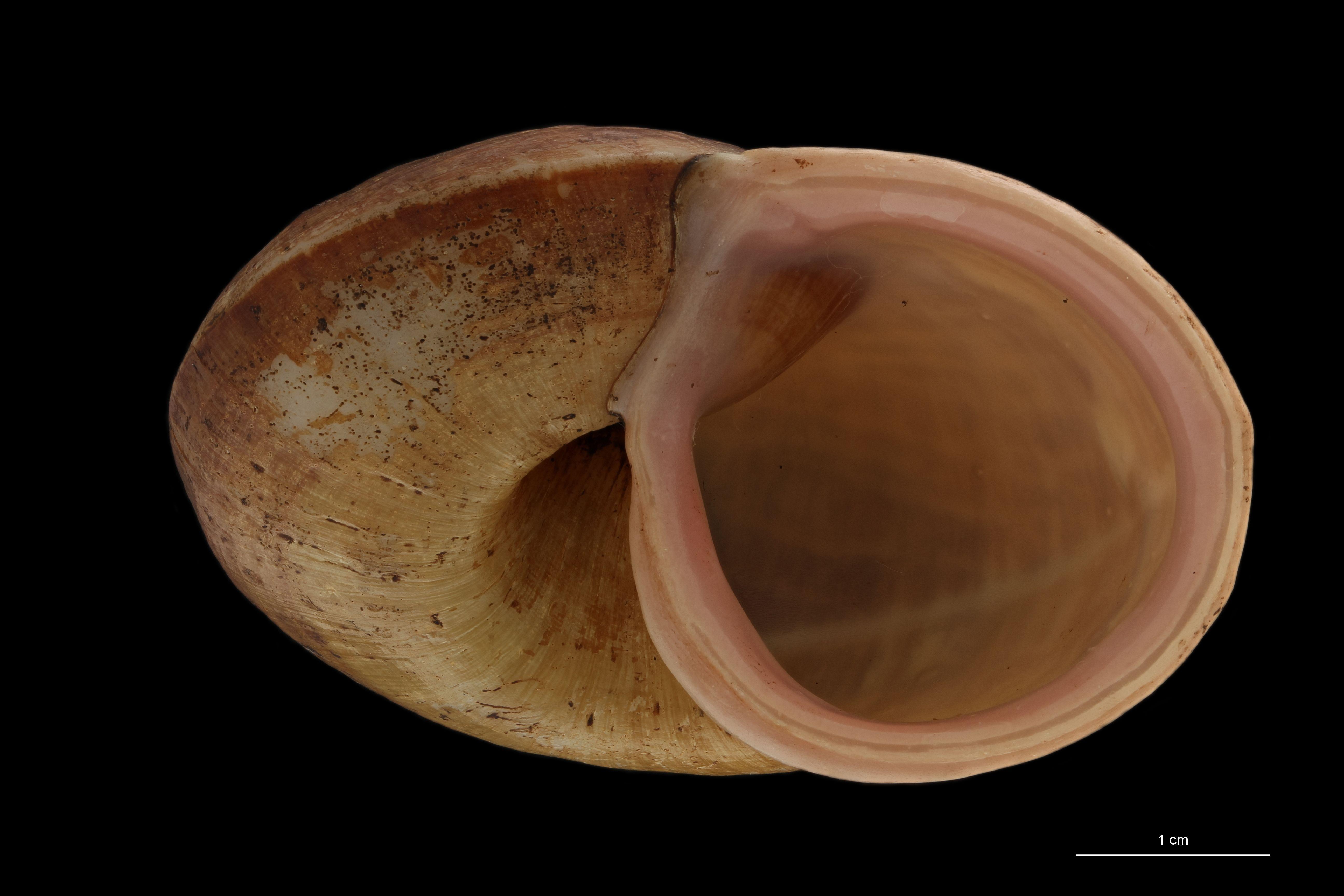 BE-RBINS-INV PARATYPE MT 895 Cyclophorus (Glossostylus) egregius FRONTAL.jpg