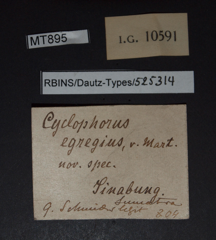 BE-RBINS-INV PARATYPE MT 895 Cyclophorus (Glossostylus) egregius LABELS.jpg