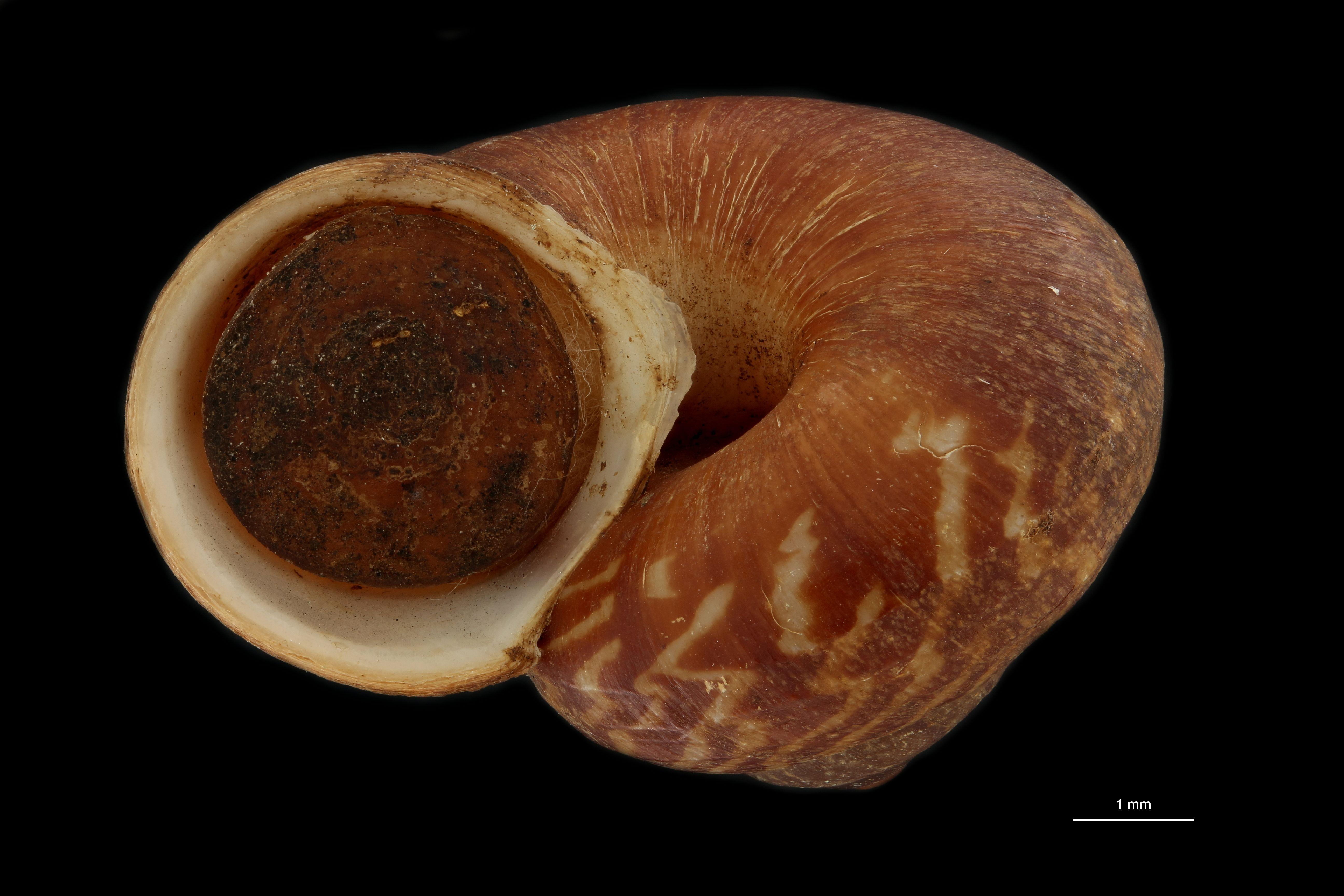 Cyclophorus prietoi pt F.jpg