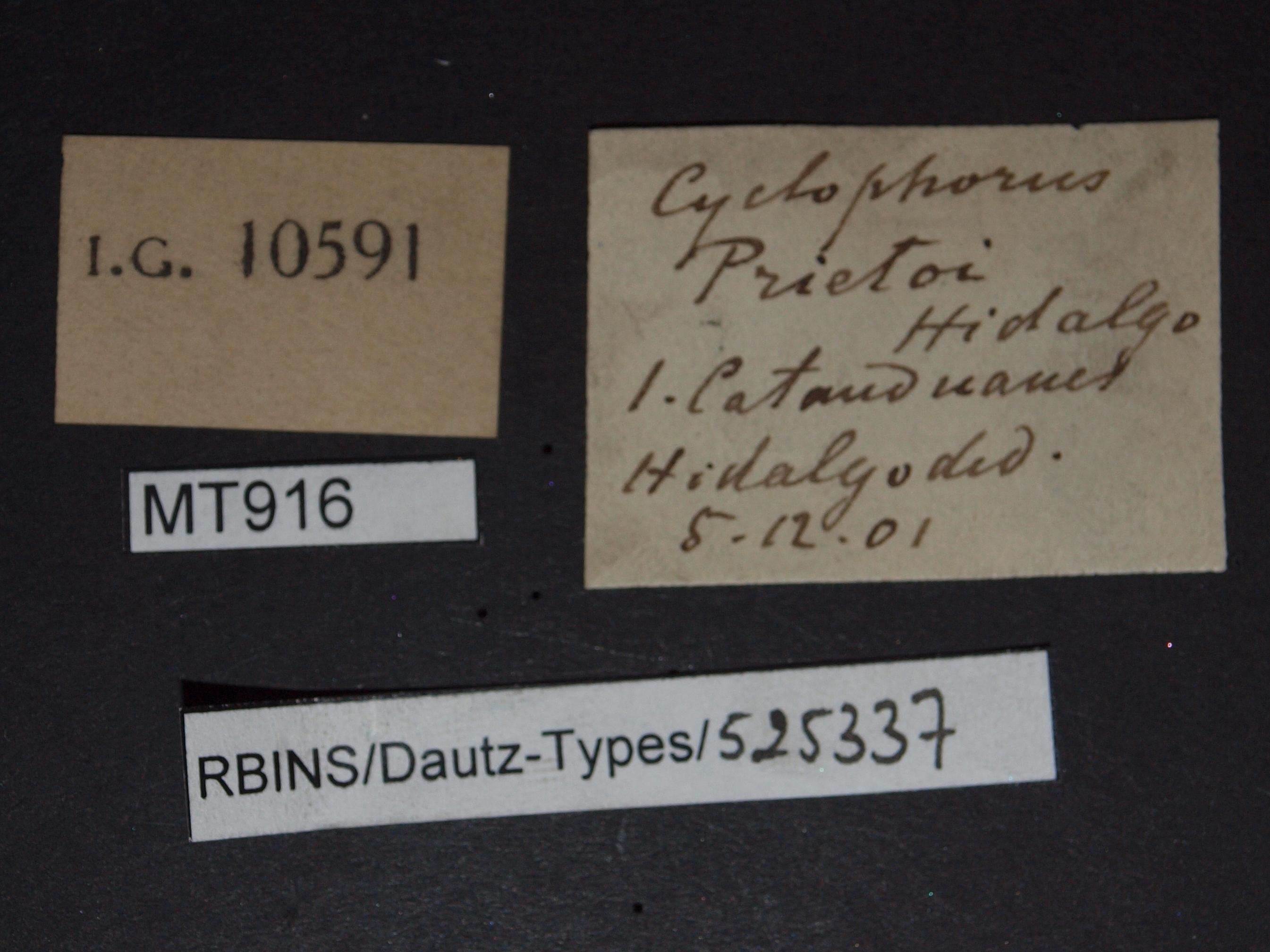Cyclophorus prietoi pt.JPG