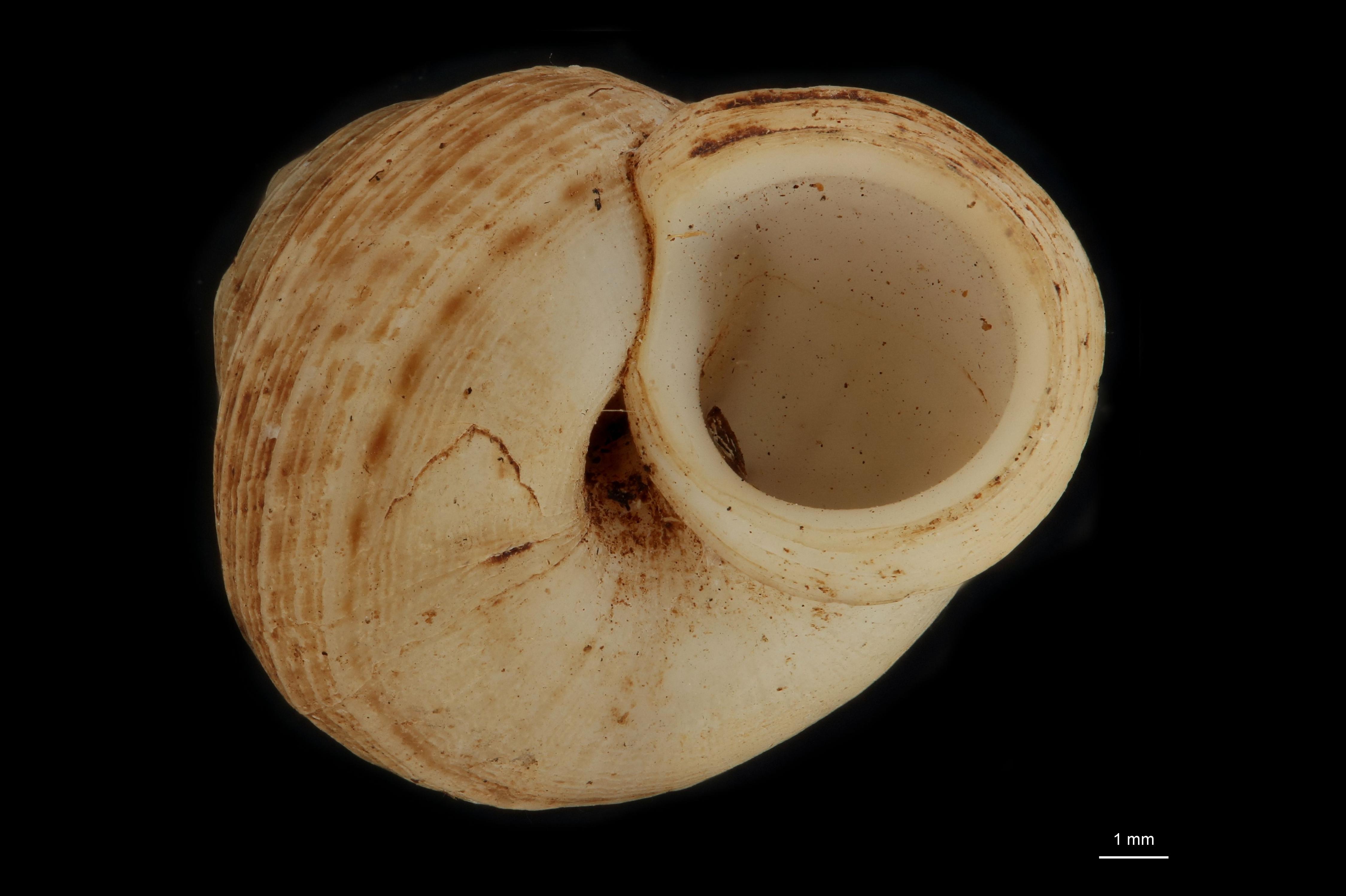 Cyclophorus ilinensis pt (ct) F.jpg