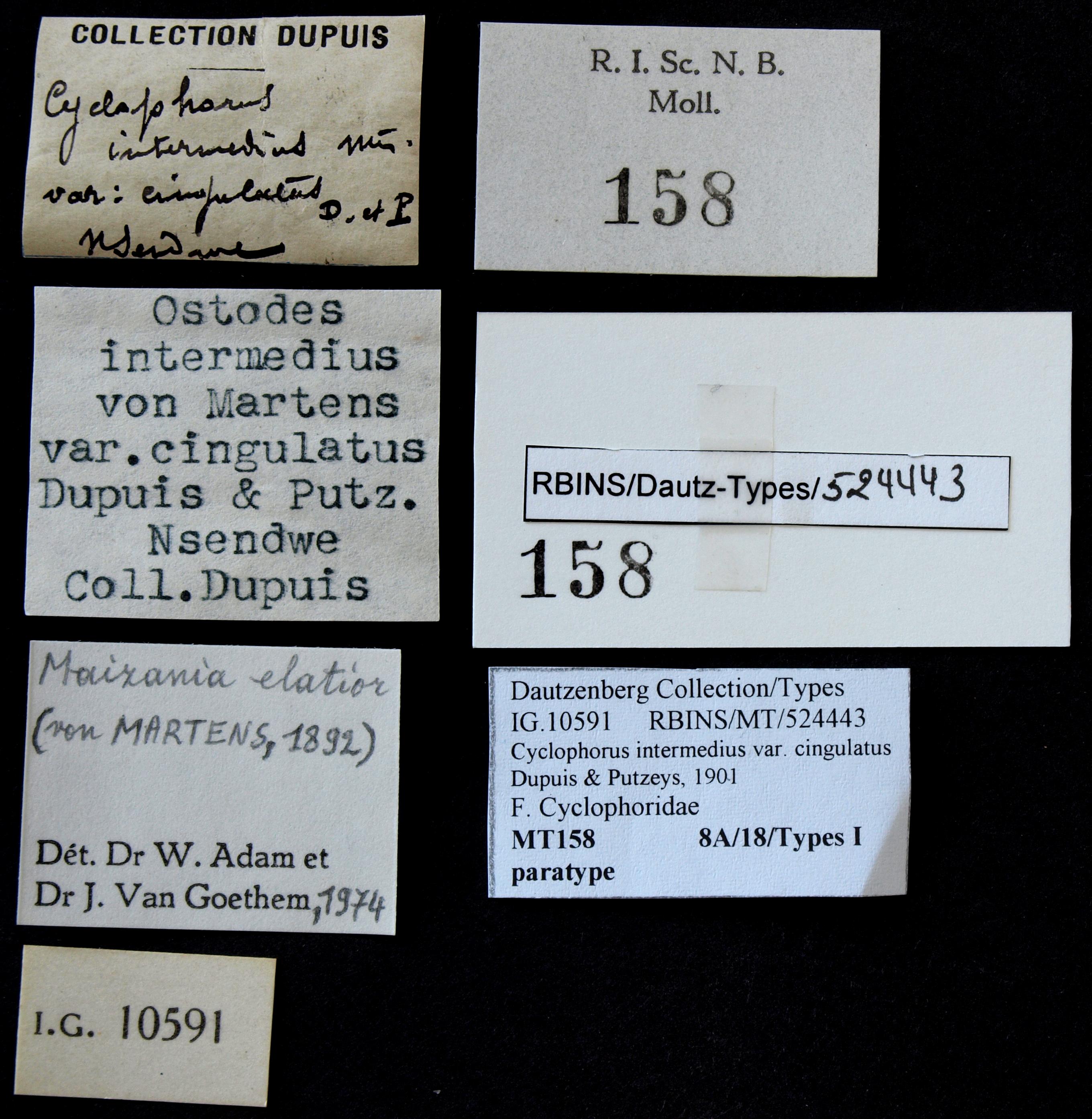 0158 Cyclophorus intermedius var cingulatus Pt Lb.JPG