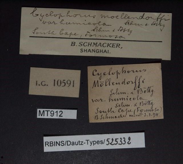Cyclophorus moellendorffi var humicola pt.JPG