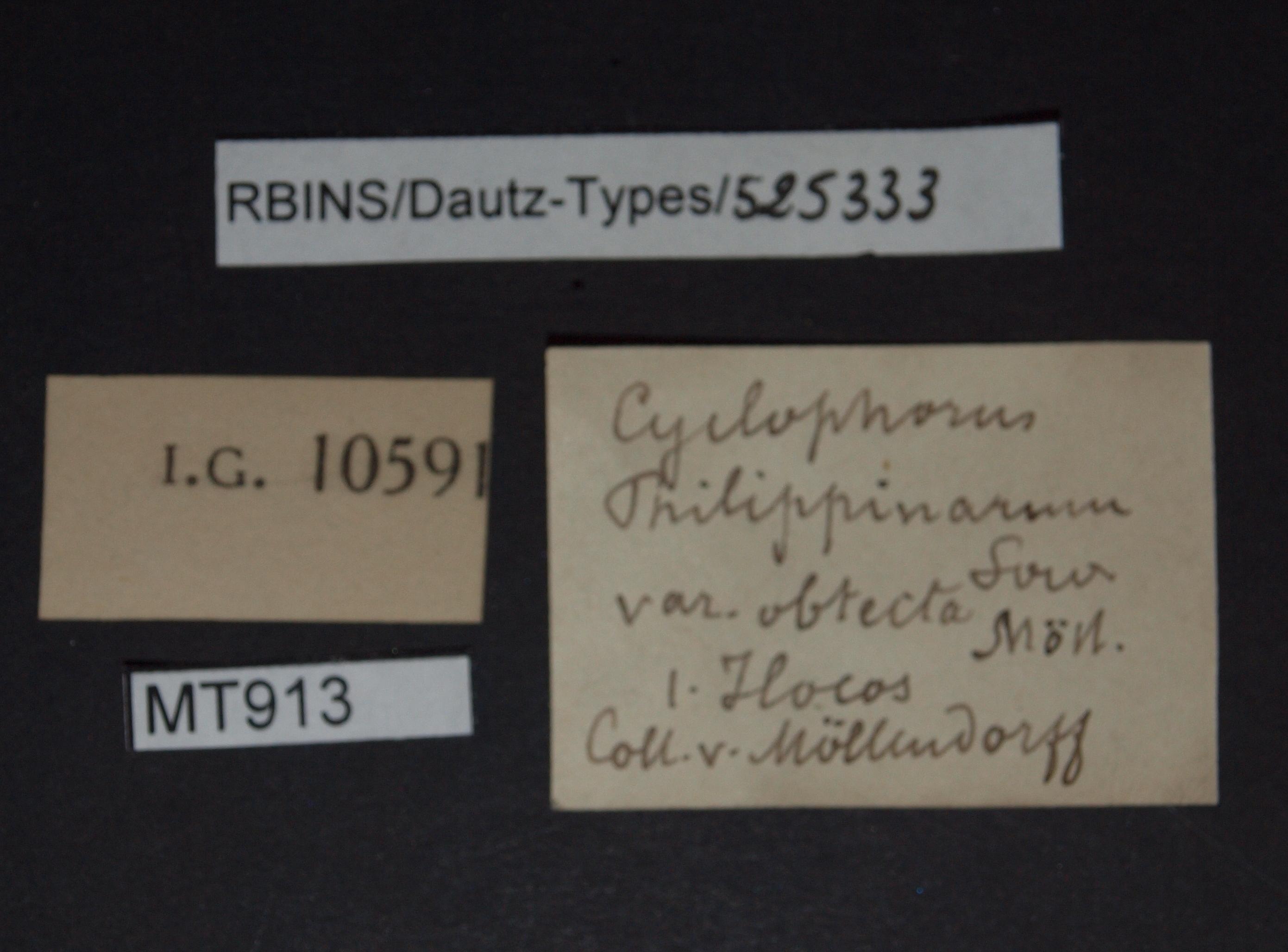 Cyclophorus philippinarum var obtecta pt.JPG