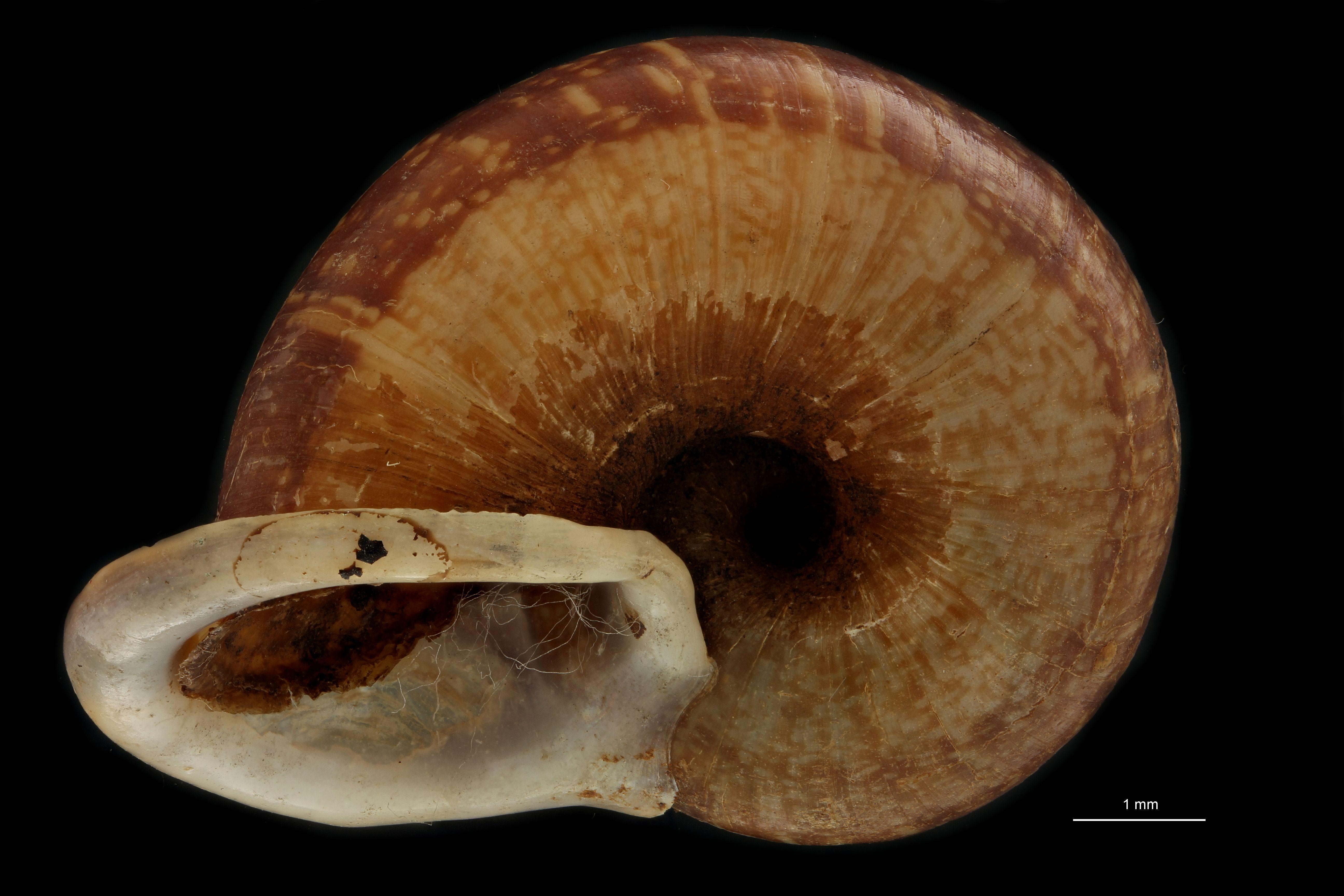 BE-RBINS-INV MT 914/2 Cyclophorus (Salpingophorus) pliciferus pt U.jpg