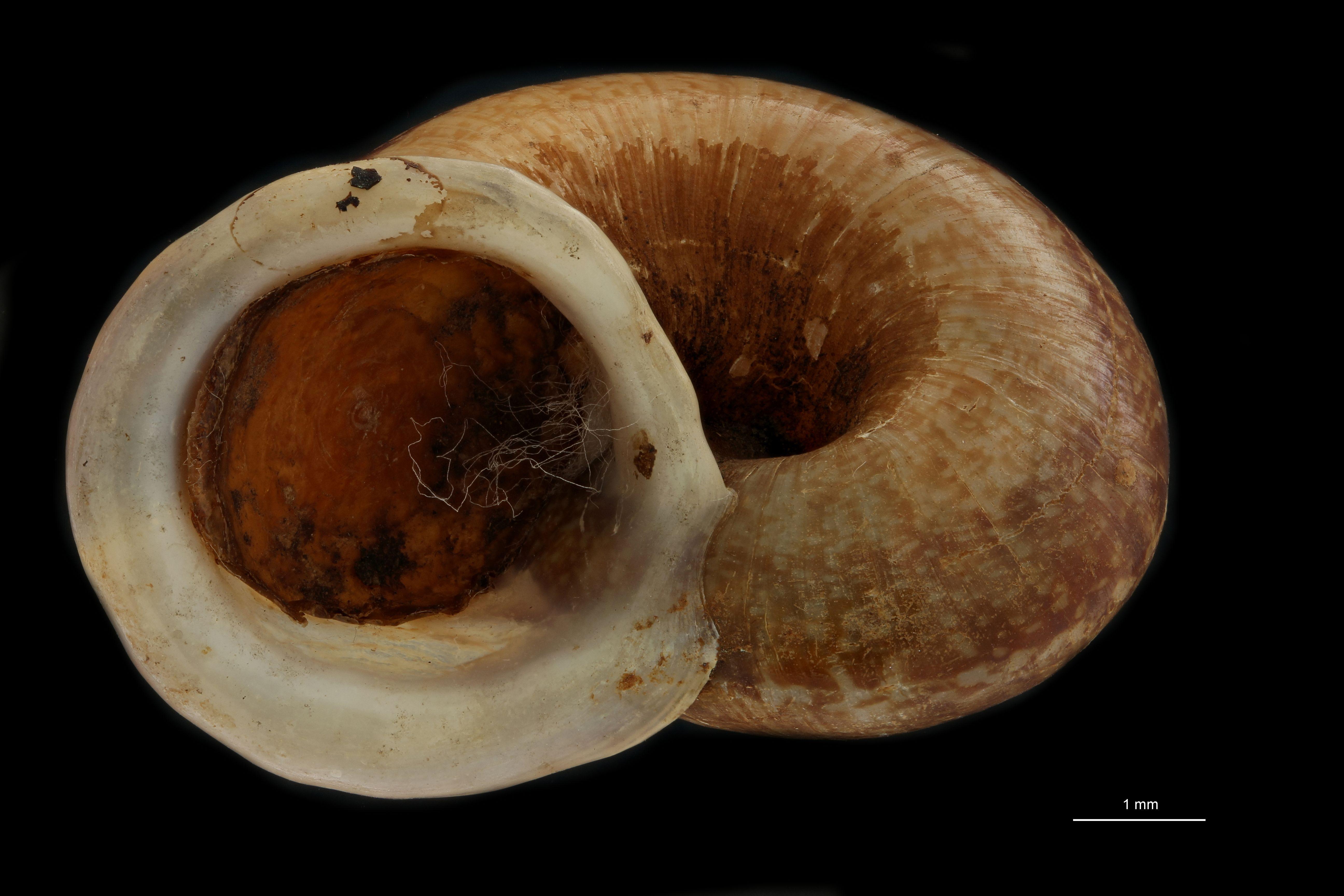 BE-RBINS-INV MT 914/2 Cyclophorus (Salpingophorus) pliciferus pt F.jpg