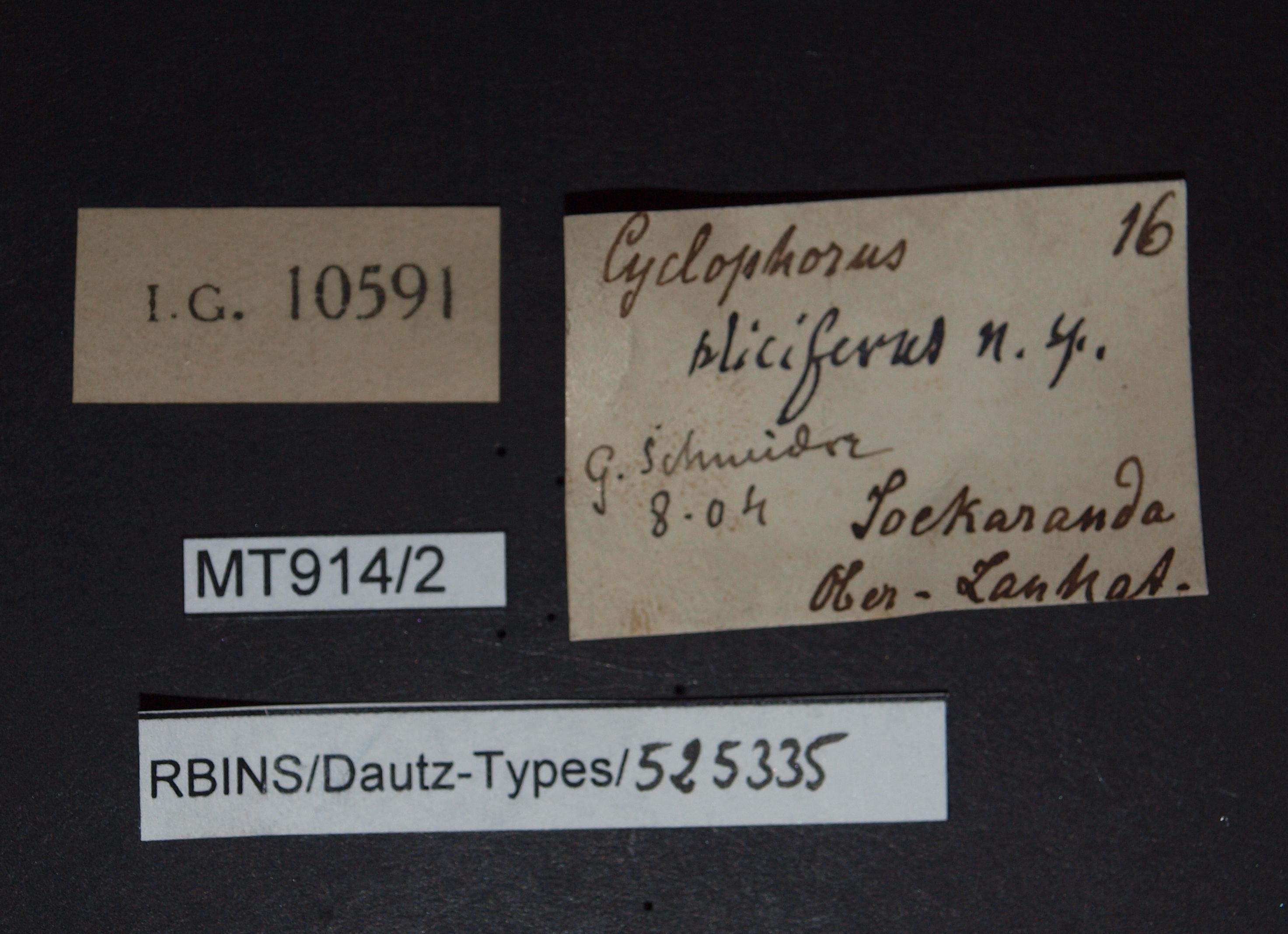 BE-RBINS-INV MT 914/2 Cyclophorus (Salpingophorus) pliciferus pt Lb.jpg