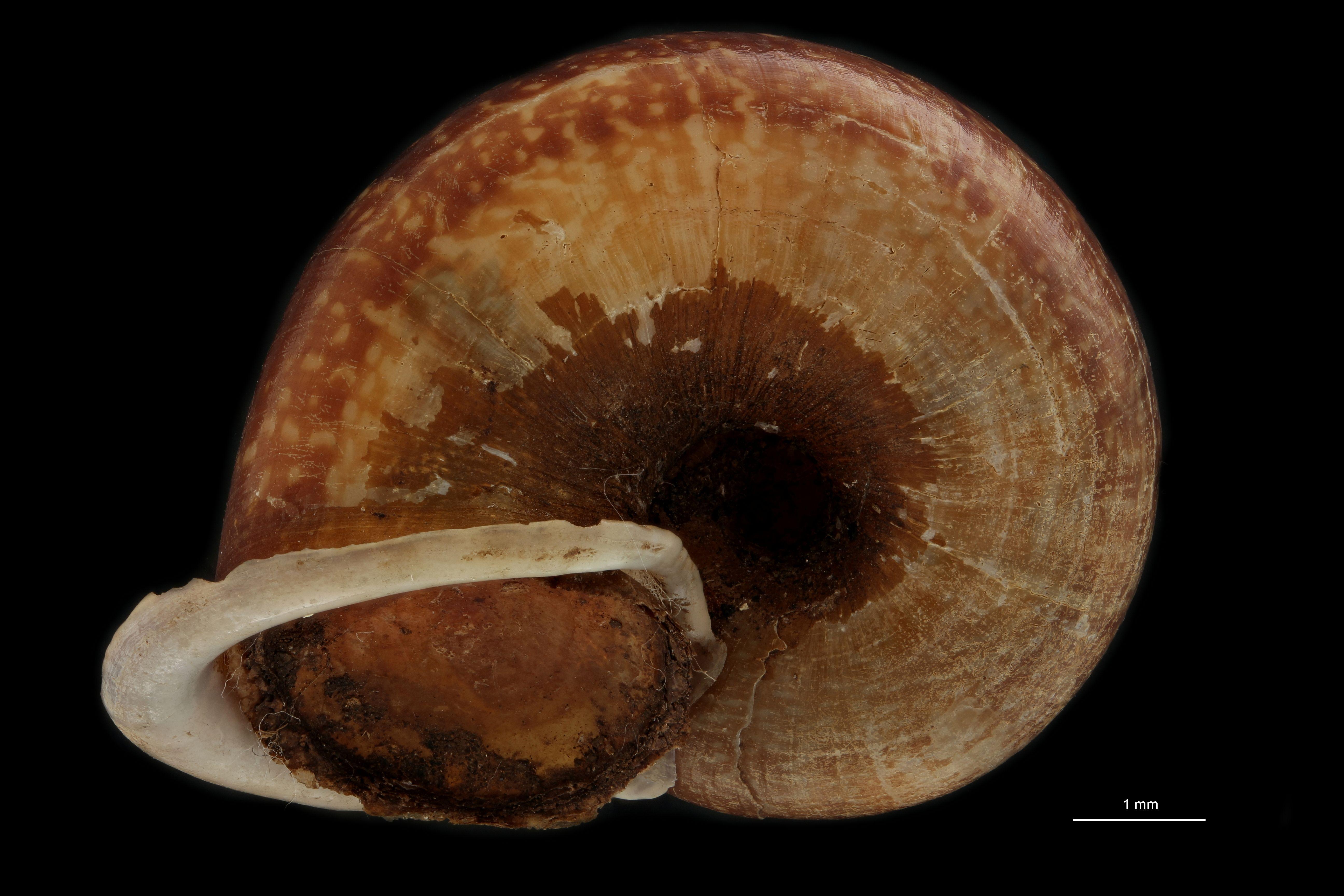 BE-RBINS-INV PARATYPE MT 914/1 Cyclophorus (Salpingophorus) pliciferus BUCAL.jpg