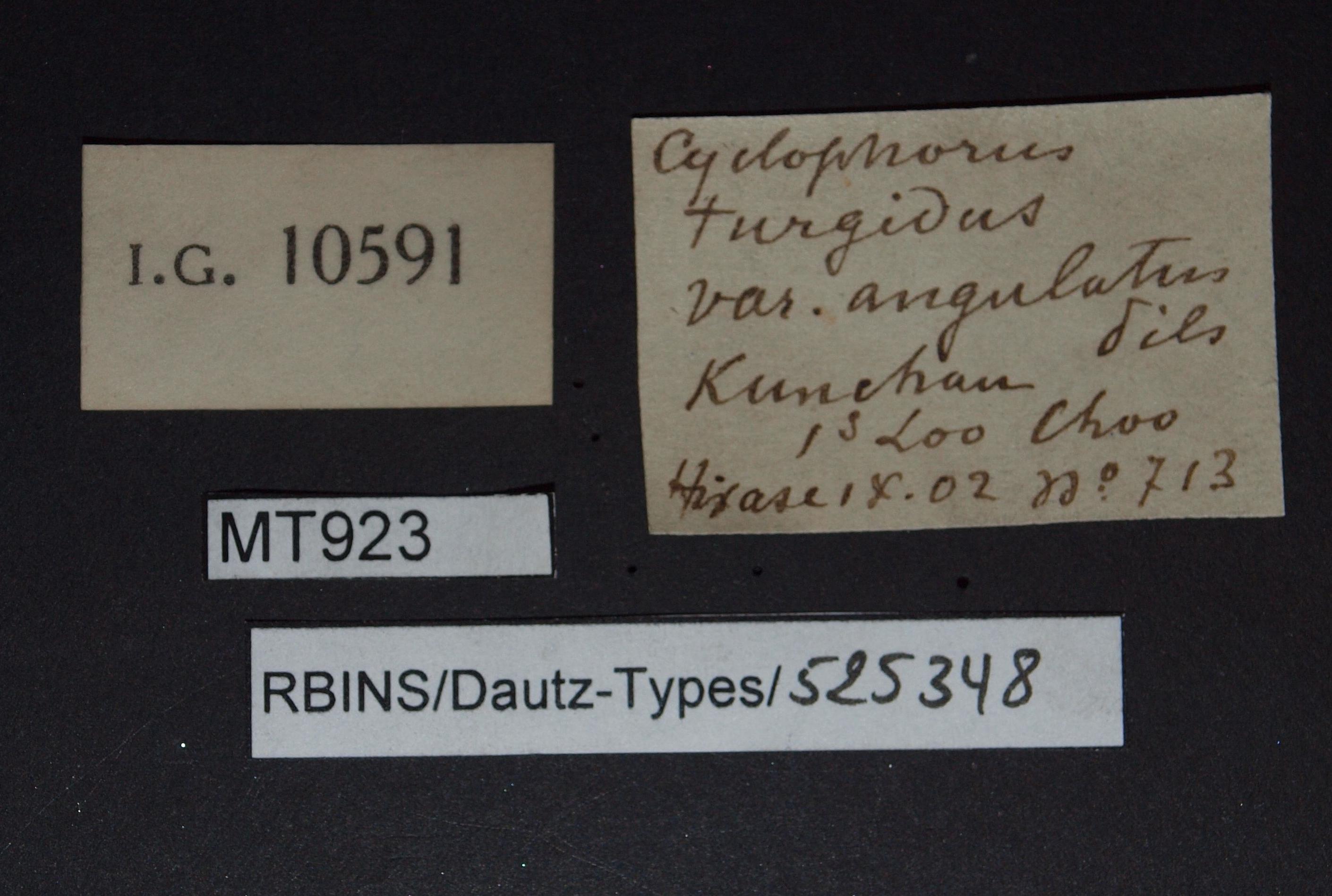 BE-RBINS-INV MT 923 Cyclophorus turgidus var. angulatus pt Lb.jpg