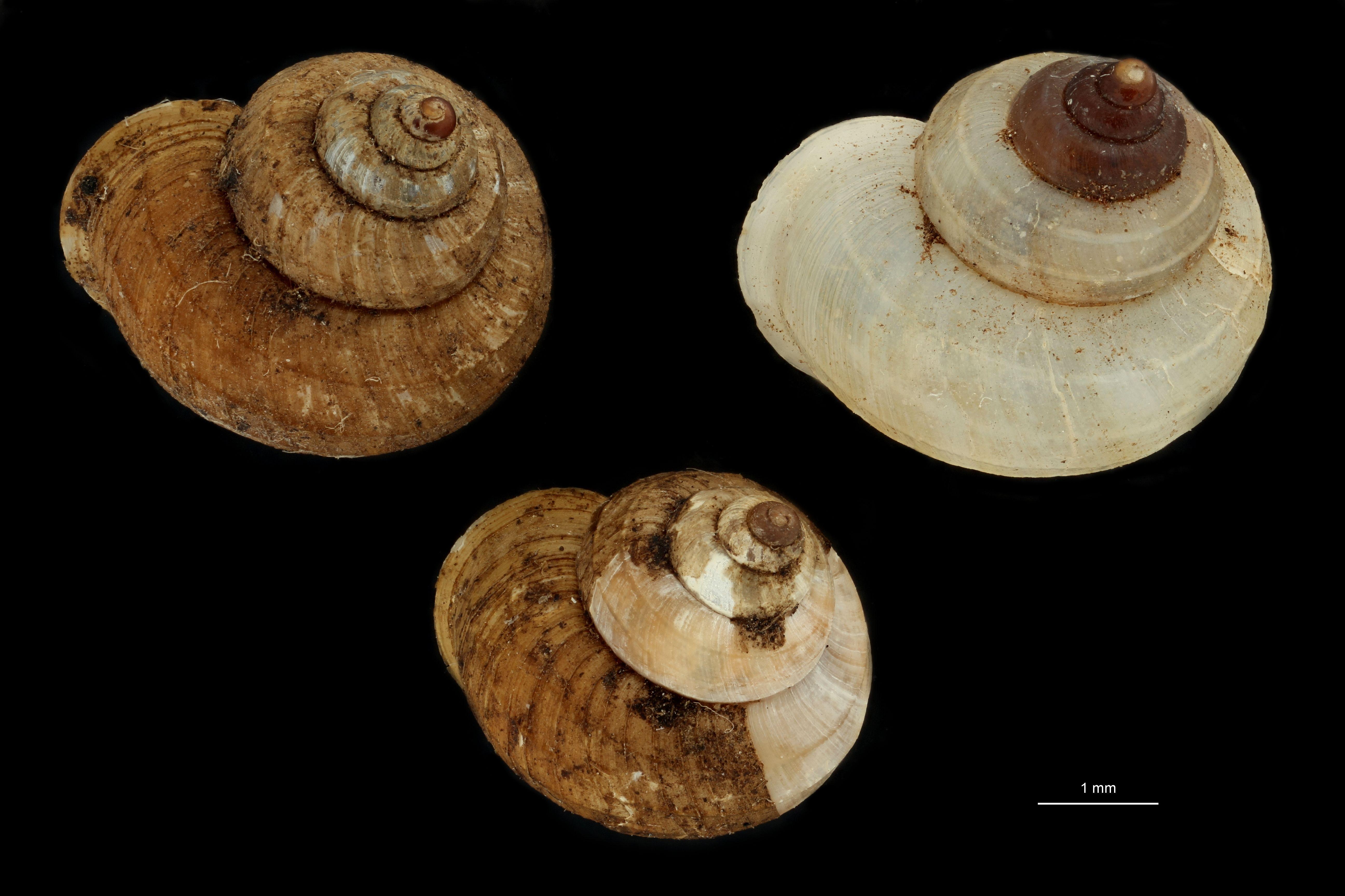 Lagochilus scissimargo var carinata pt GROUPE.jpg