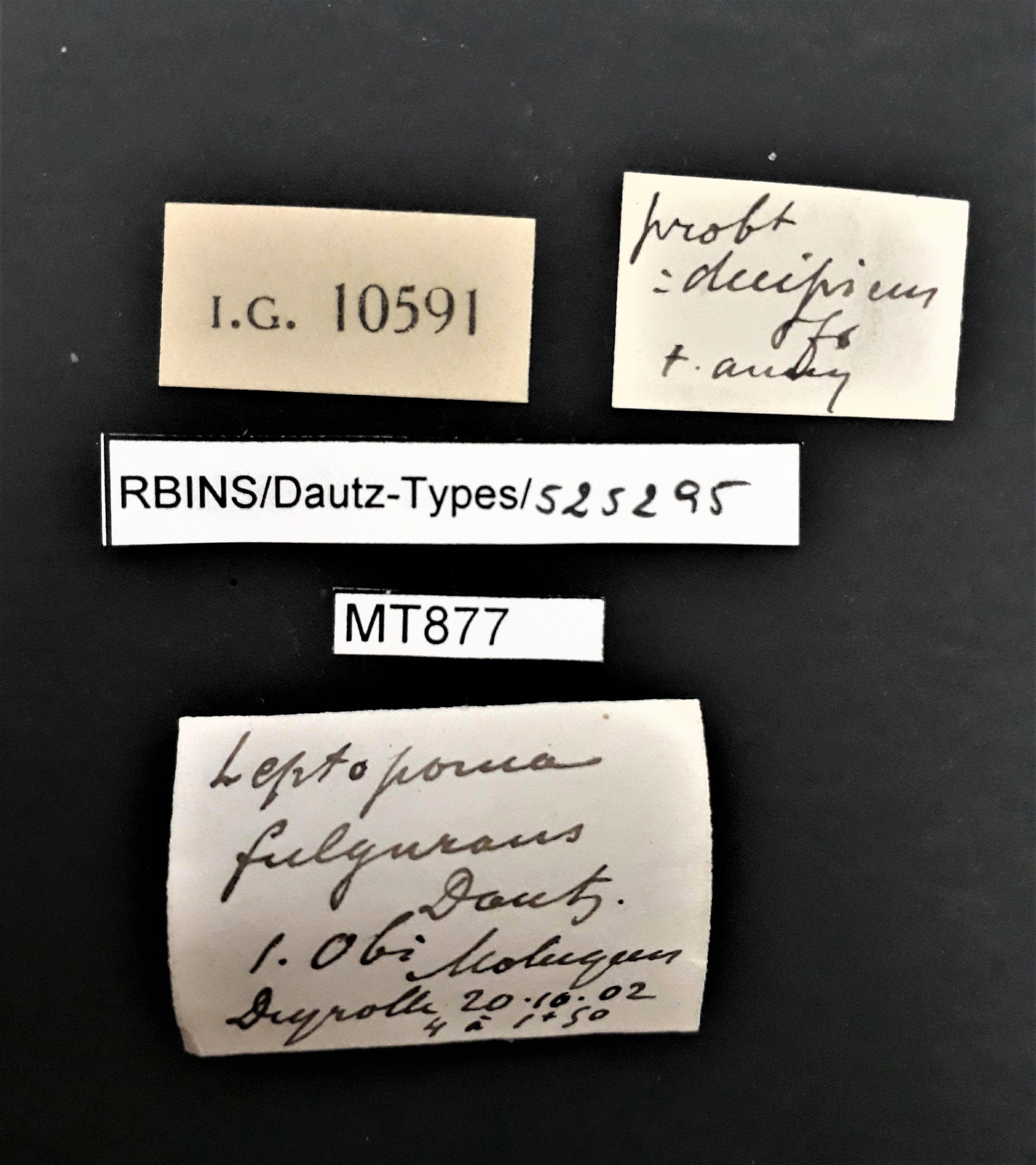 BE-RBINS-INV MT 877 Leptopoma fulgurans pt Lb.jpg