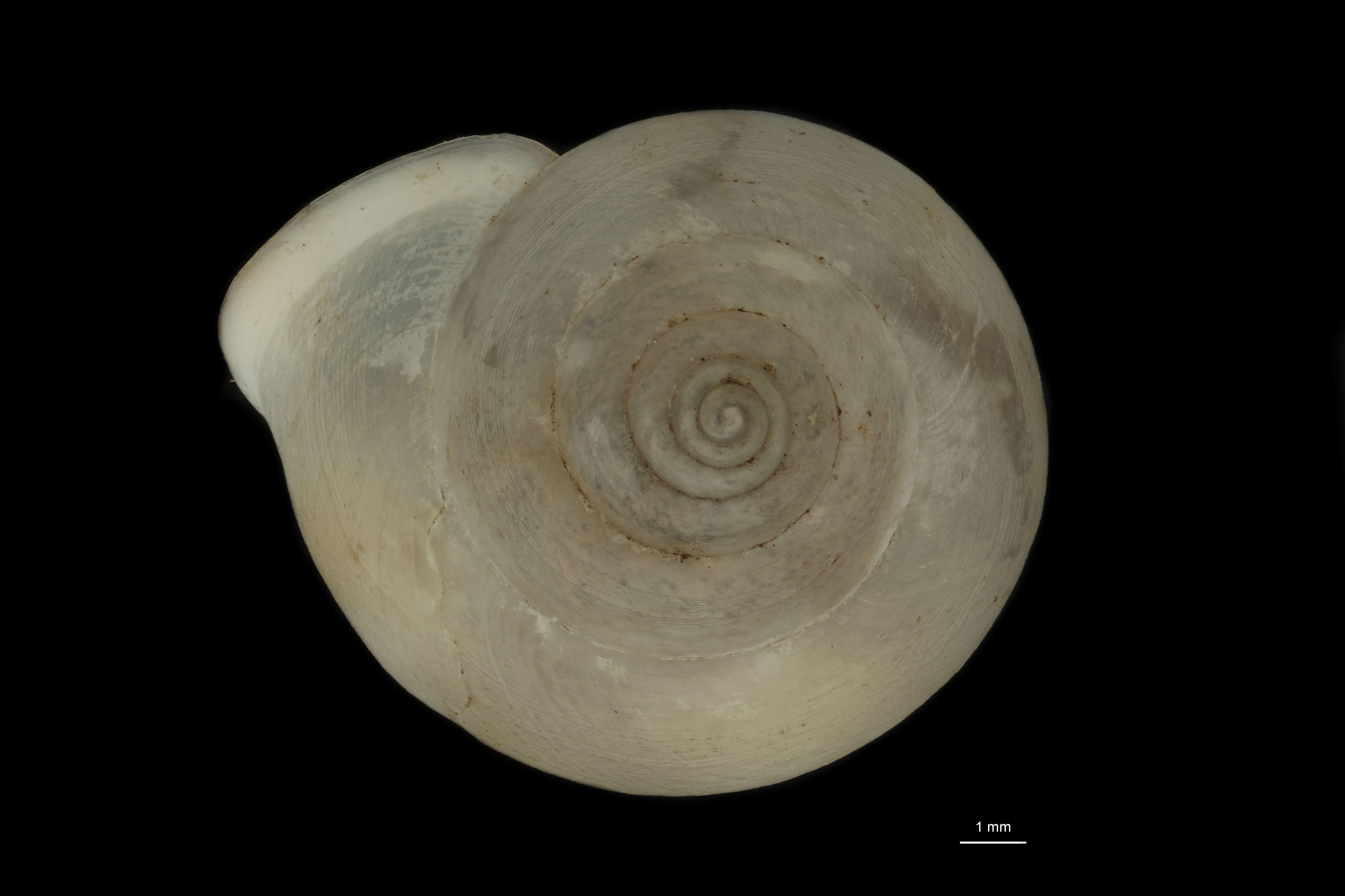 BE-RBINS-INV MT  875 Leptopoma (Trocholeptopoma) altius pt D.jpg