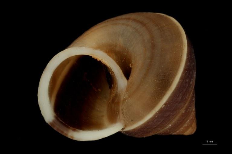 BE-RBINS-INV PARATYPE MT 876 Leptopoma (Trocholeptopoma) annamiticum FRONTAL.jpg