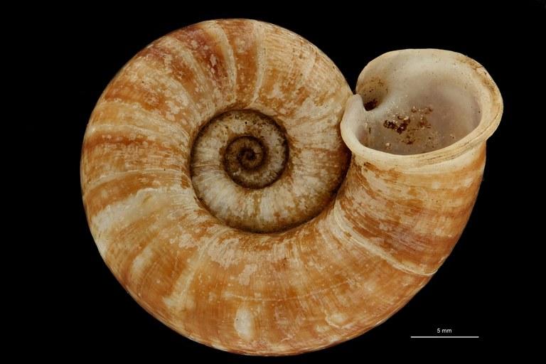 BE-RBINS-INV PARATYPE MT 890 Myxostoma paradoxa BUCAL.jpg