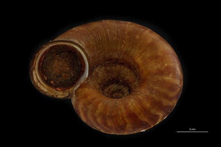 BE-RBINS-INV PARATYPE MT.932/1 Opisthoporus dautzenbergi FRONTAL.jpg