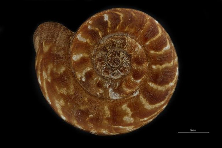BE-RBINS-INV PARATYPE MT.932/1 Opisthoporus dautzenbergi DORSALD.jpg
