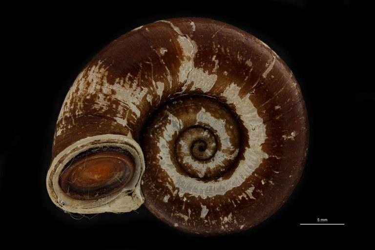 BE-RBINS-INV PARATYPE MT 928 Pterocyclus baruensis BUCAL.jpg