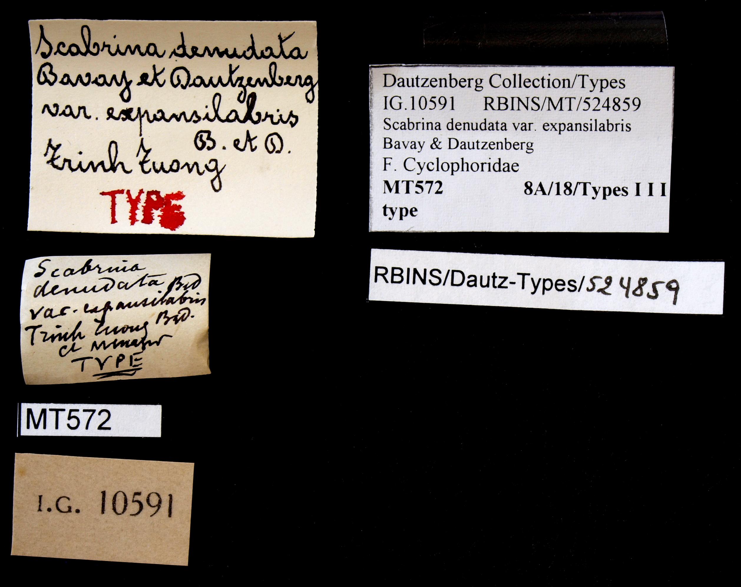 BE-RBINS-INV TYPE MT 572 Scabrina denudata var. expansilabris LABELS.jpg