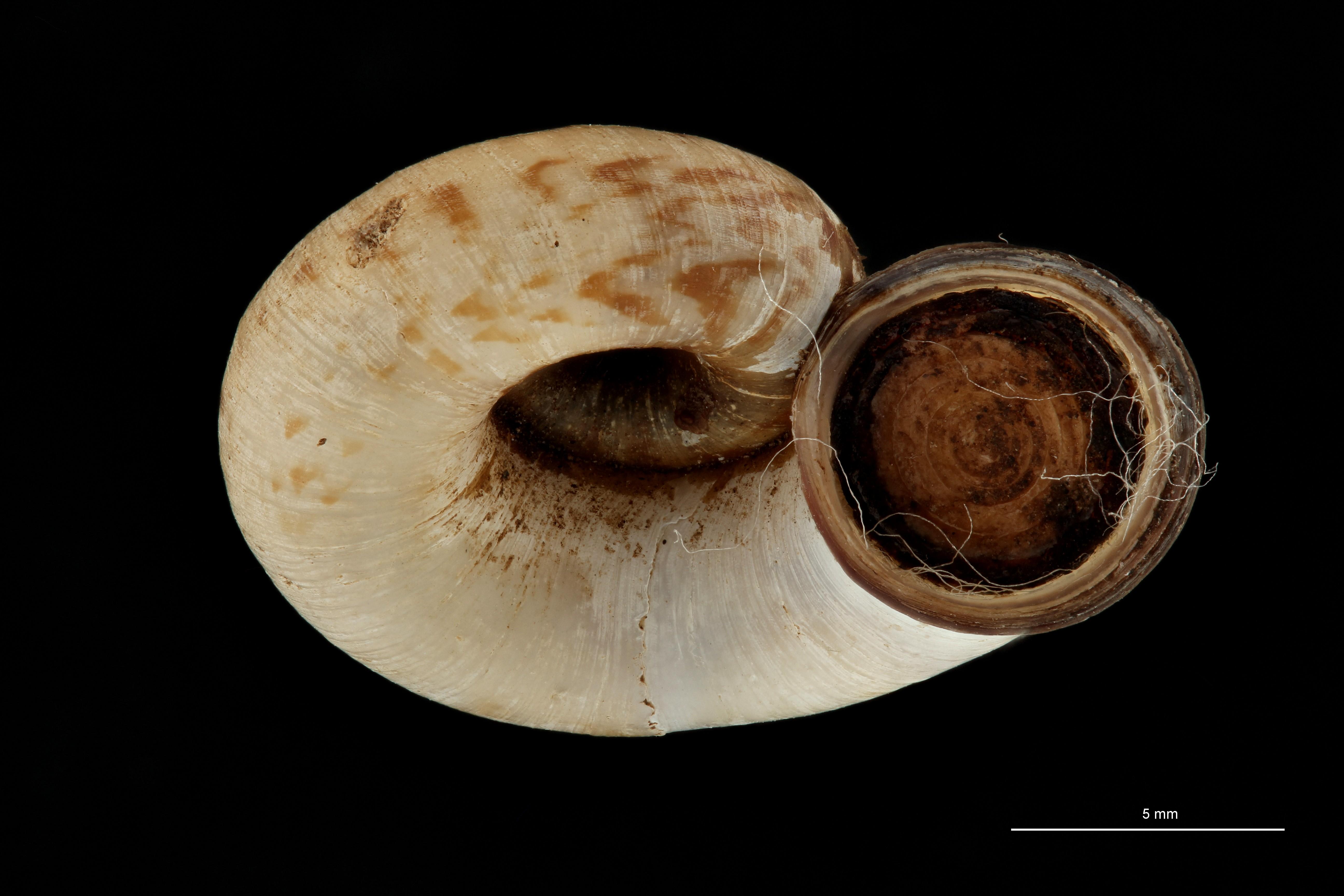 0571 Scabrina melanotrema Typ L ZS PMax Scaled.jpg