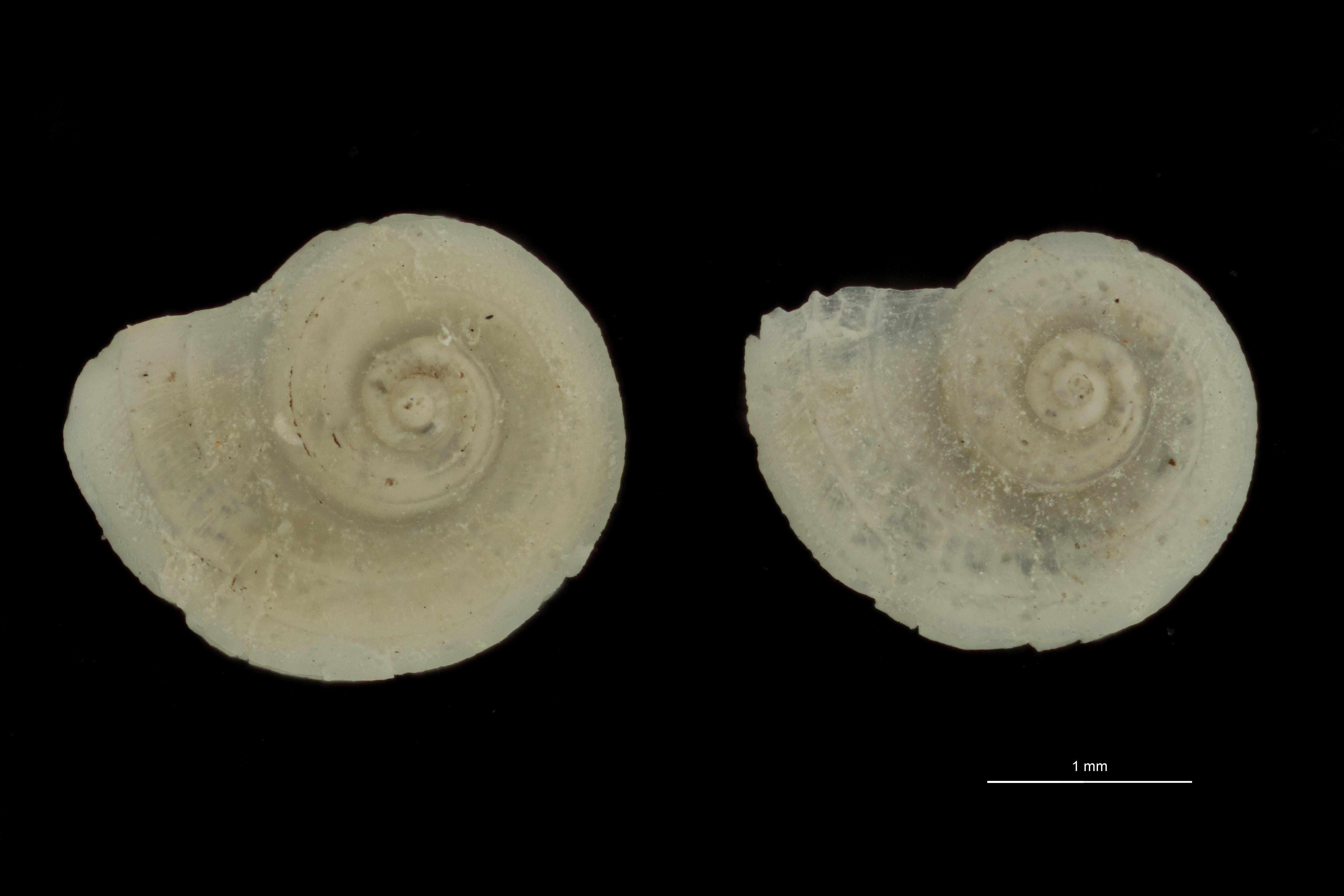 Cyclostrema novemcarinatum pt (ct) GROUPE.jpg
