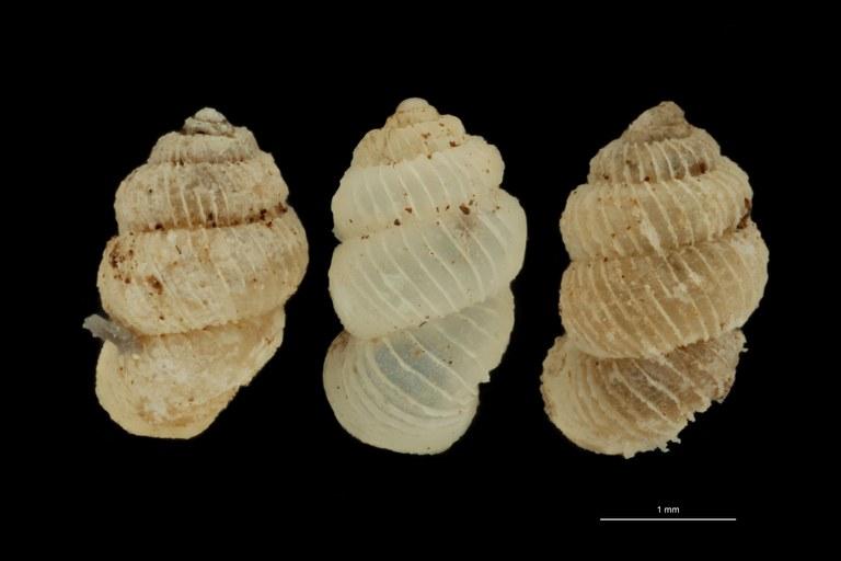 BE-RBINS-INV PARATYPE MT 1019 Arinia (Leucarinia) palainaeformis GROUPE.jpg