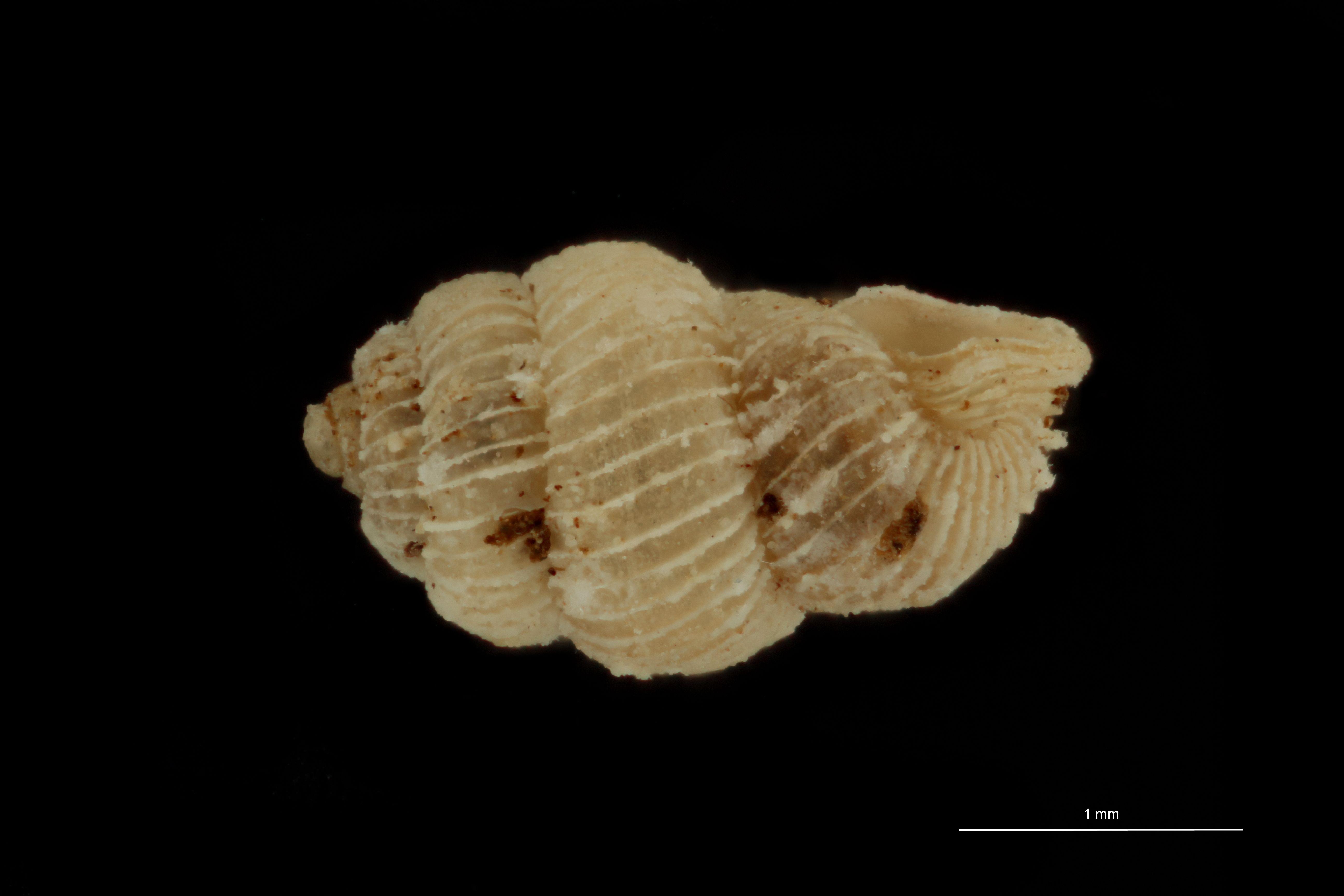 BE-RBINS-INV MT 1019 Arinia (Leucarinia) palainaeformis pt L.jpg