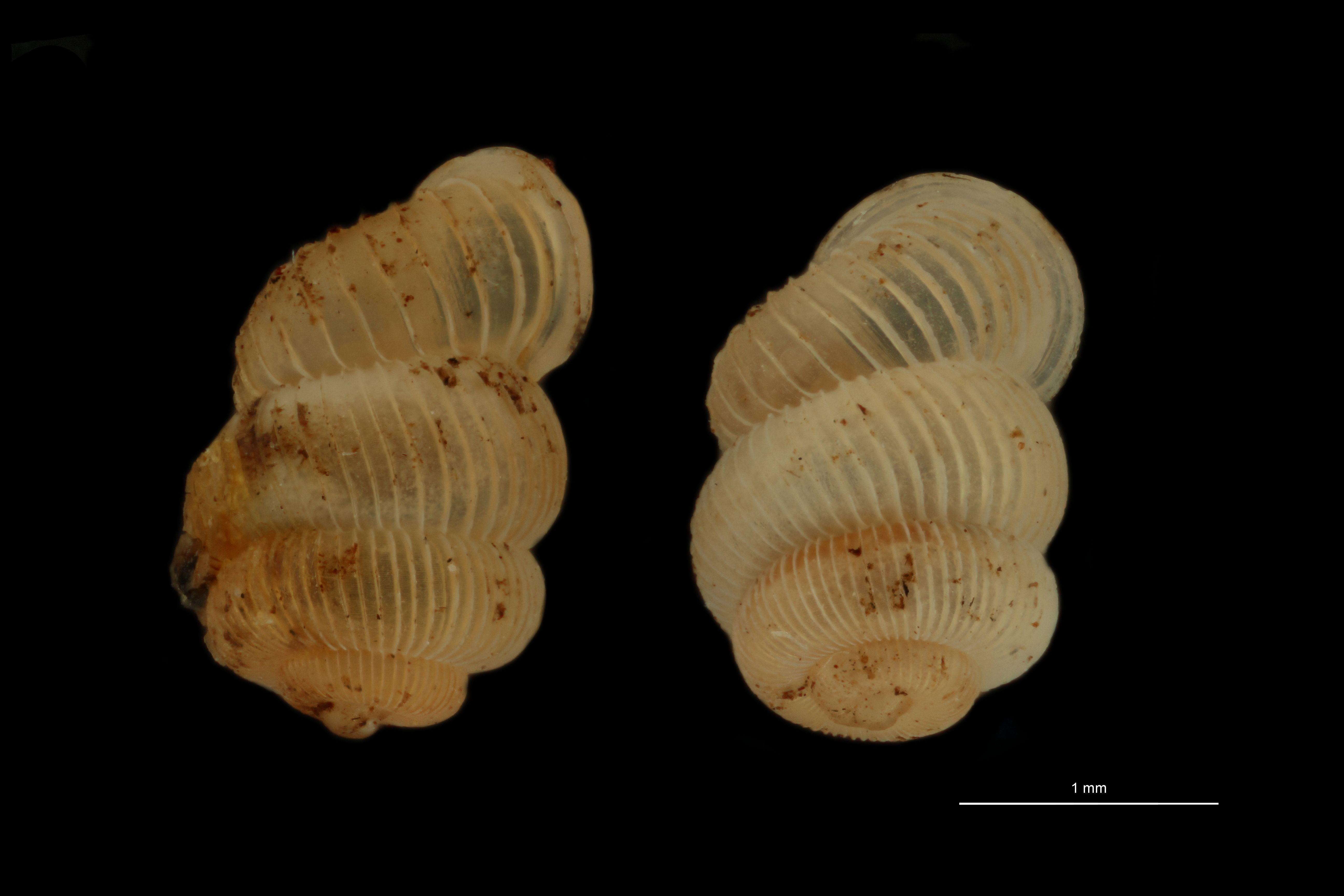 BE-RBINS-INV MT 1020 Arinia (Leucarinia) talautana pt GROUPE.jpg