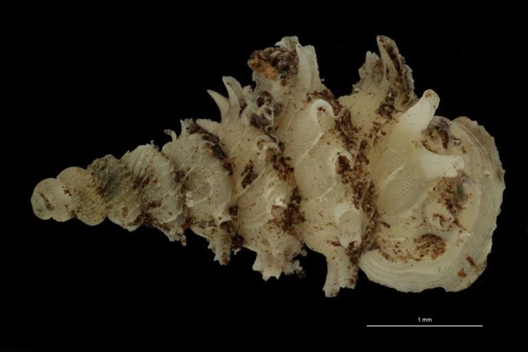 BE-RBINS-INV PARATYPE MT.1028/1 Diplommatina (Palaina) pagodula DORSAL.jpg