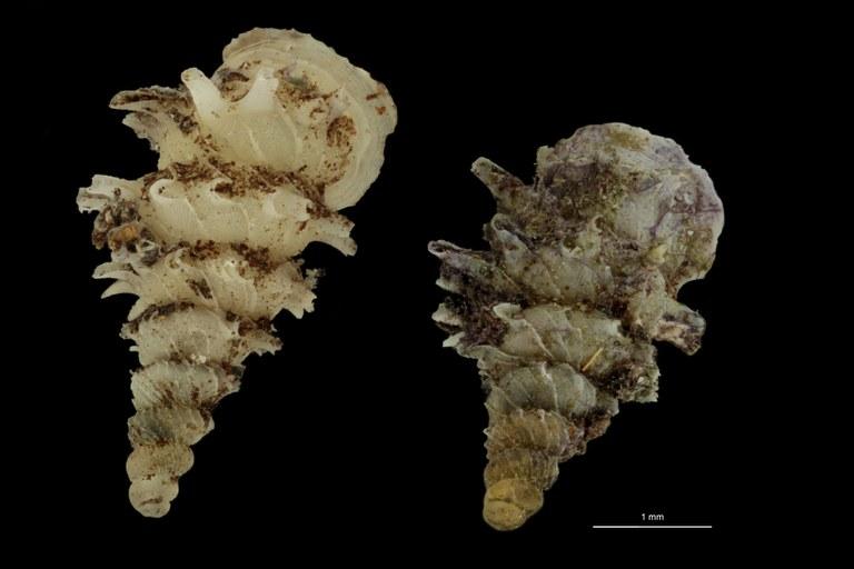 BE-RBINS-INV PARATYPE MT.1028/1 Diplommatina (Palaina) pagodula GROUPE.jpg