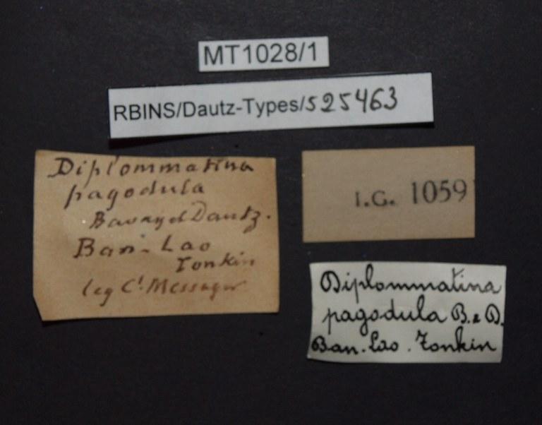 BE-RBINS-INV PARATYPE MT.1028/1 Diplommatina (Palaina) pagodula LABELS.jpg