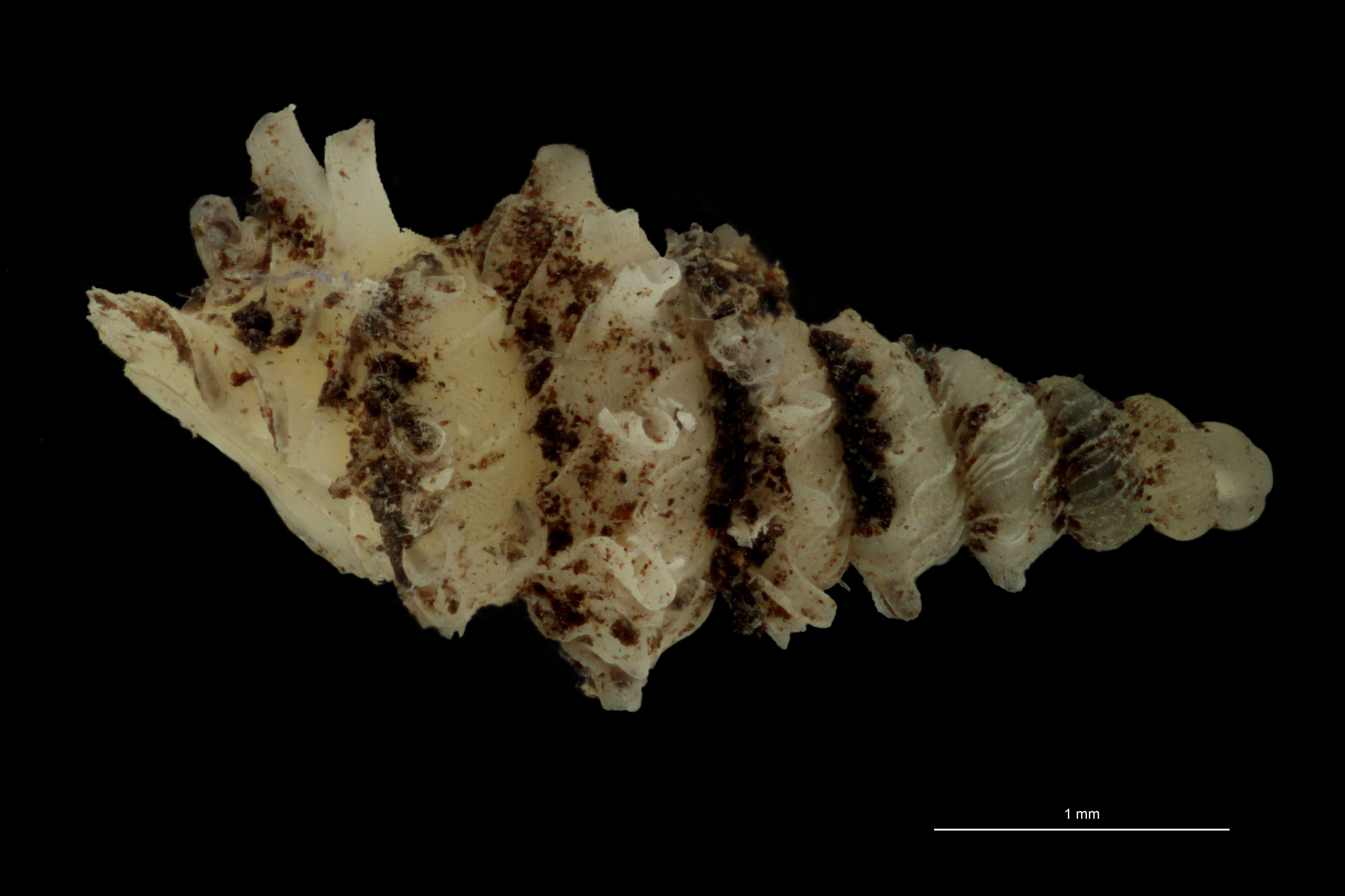 BE-RBINS-INV PARATYPE MT.1028/1 Diplommatina (Palaina) pagodula LATERAL.jpg