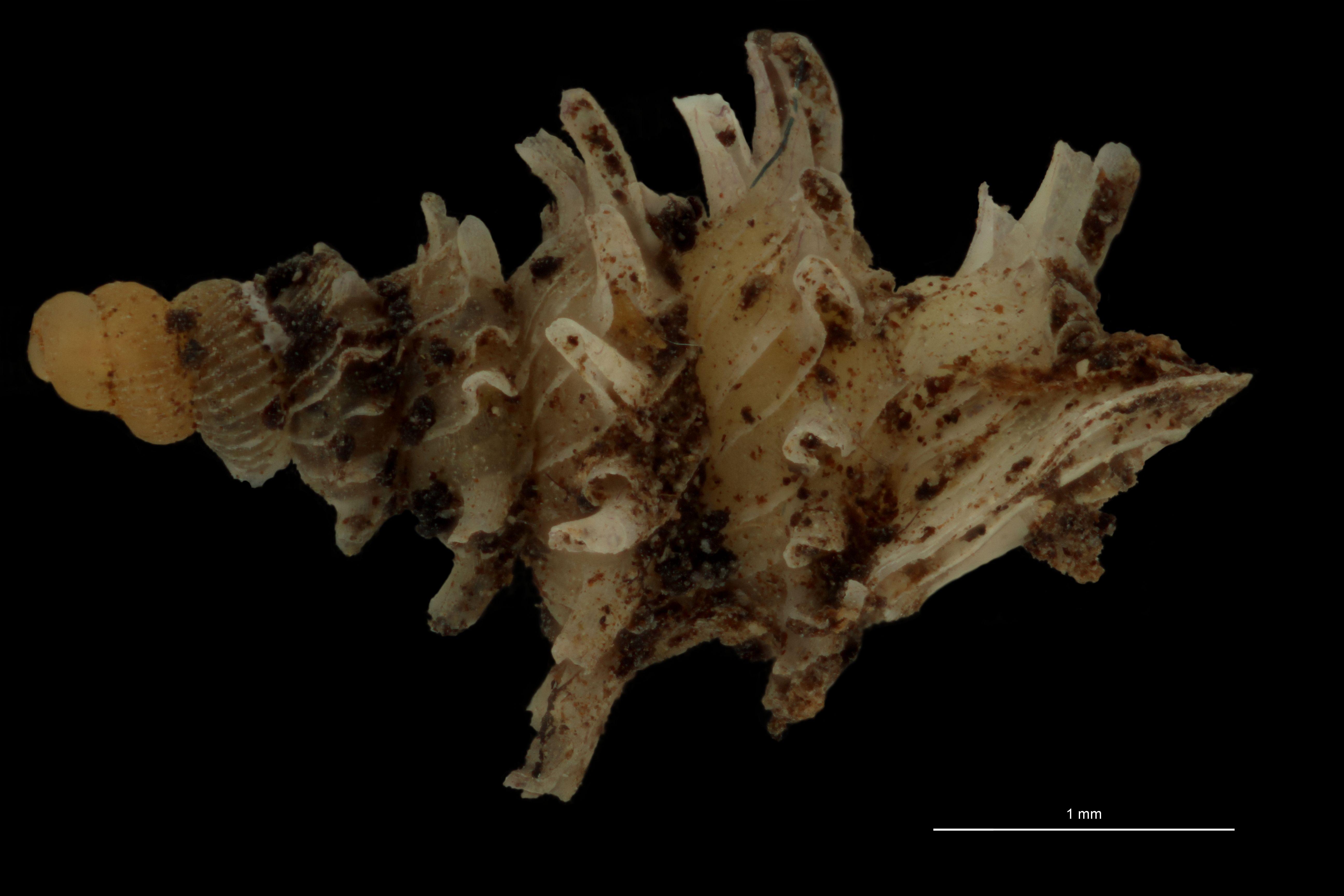 BE-RBINS-INV PARATYPE MT.1028/2 Diplommatina (Palaina) pagodula LATERAL.jpg
