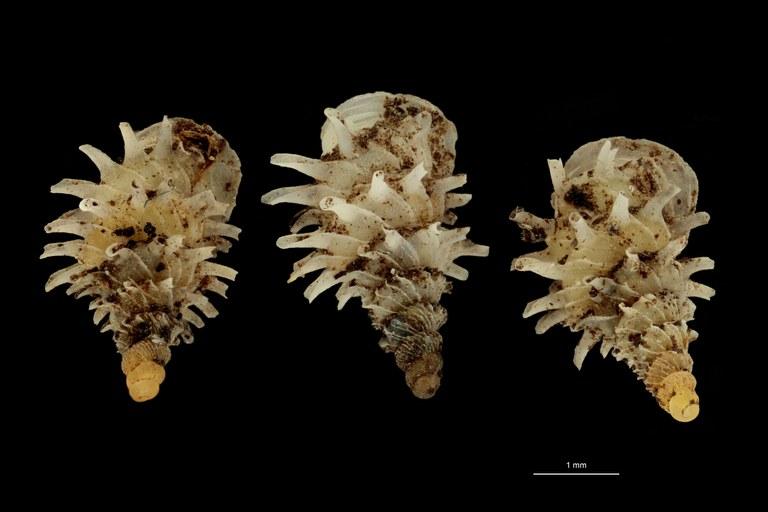 BE-RBINS-INV PARATYPE MT.1028/2 Diplommatina (Palaina) pagodula GROUPE.jpg
