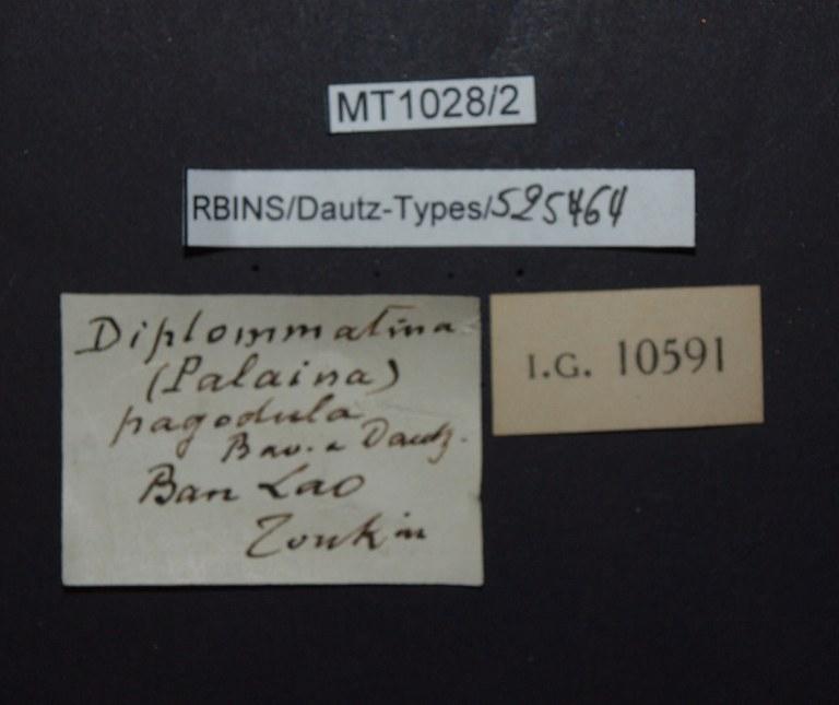 BE-RBINS-INV PARATYPE MT.1028/2 Diplommatina (Palaina) pagodula LABELS.jpg