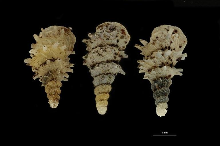 BE-RBINS-INV PARATYPE MT.1028/3 Diplommatina (Palaina) pagodula GROUPE.jpg