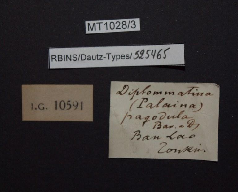 BE-RBINS-INV PARATYPE MT.1028/3 Diplommatina (Palaina) pagodula LABELS.jpg