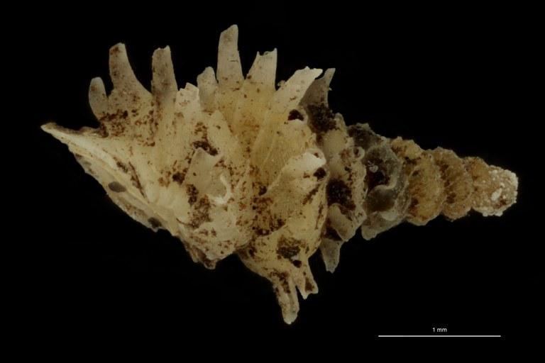 BE-RBINS-INV PARATYPE MT.1028/3 Diplommatina (Palaina) pagodula LATERAL.jpg