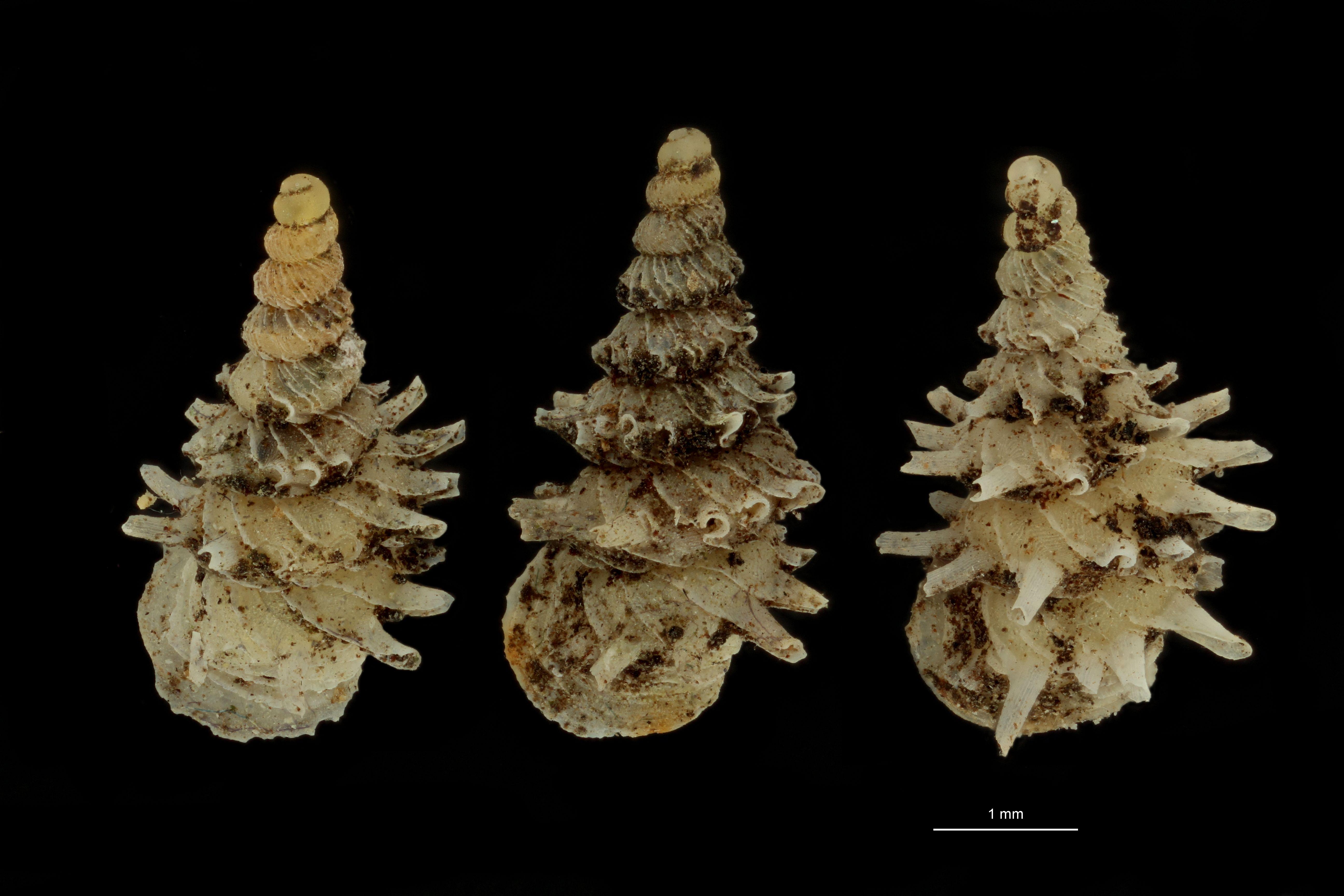 BE-RBINS-INV PARATYPE MT.1028/4 Diplommatina (Palaina) pagodula GROUPE.jpg