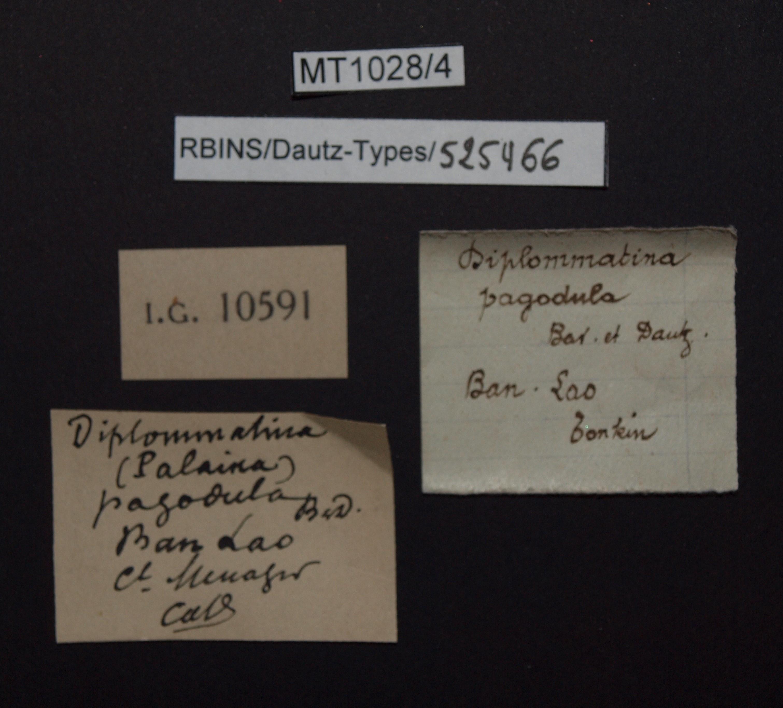 BE-RBINS-INV PARATYPE MT.1028/4 Diplommatina (Palaina) pagodula LABELS.jpg