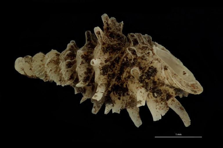 BE-RBINS-INV PARATYPE MT.1028/4 Diplommatina (Palaina) pagodula LATERAL.jpg