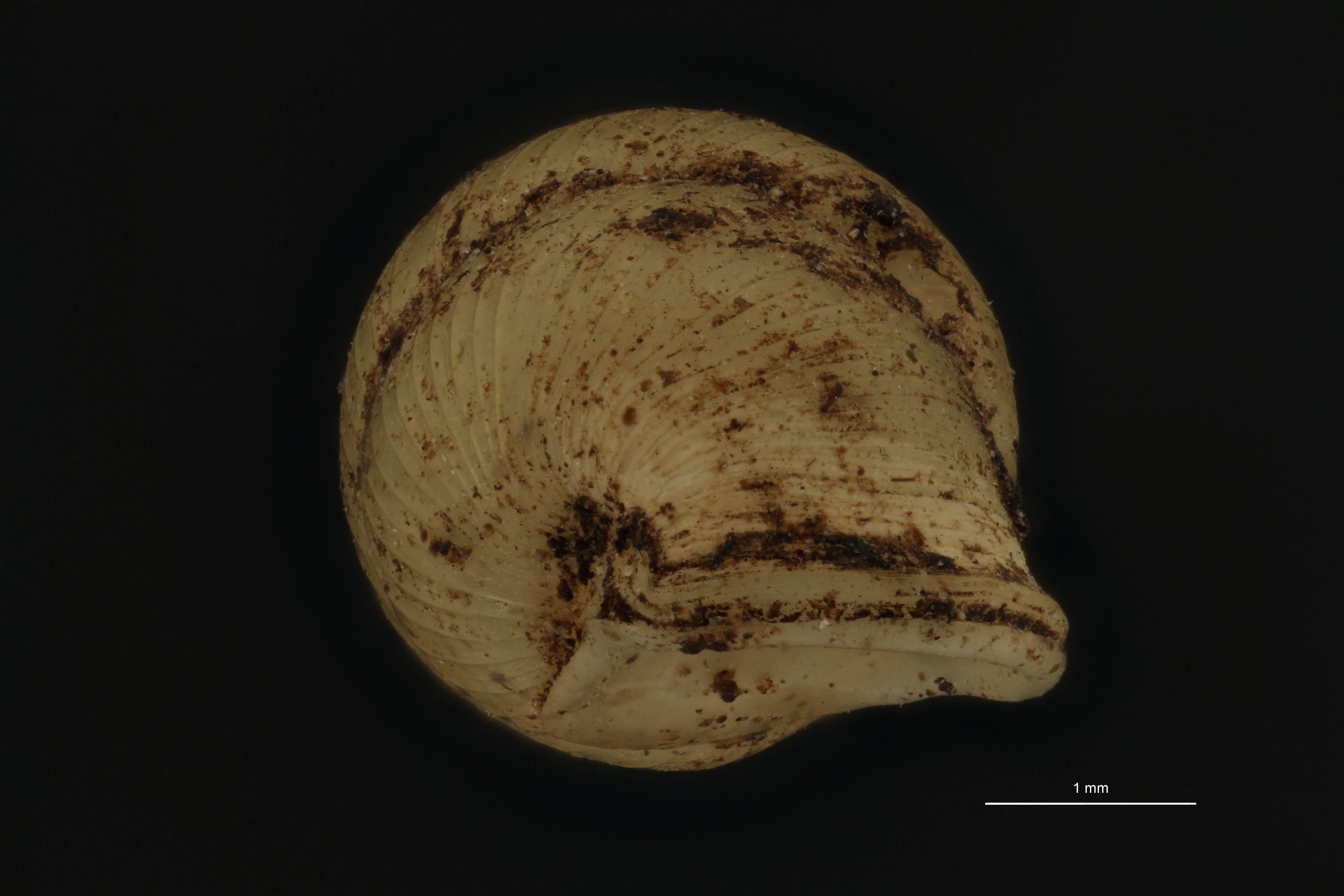Diplommatina clausilioides pt 3 U.jpg