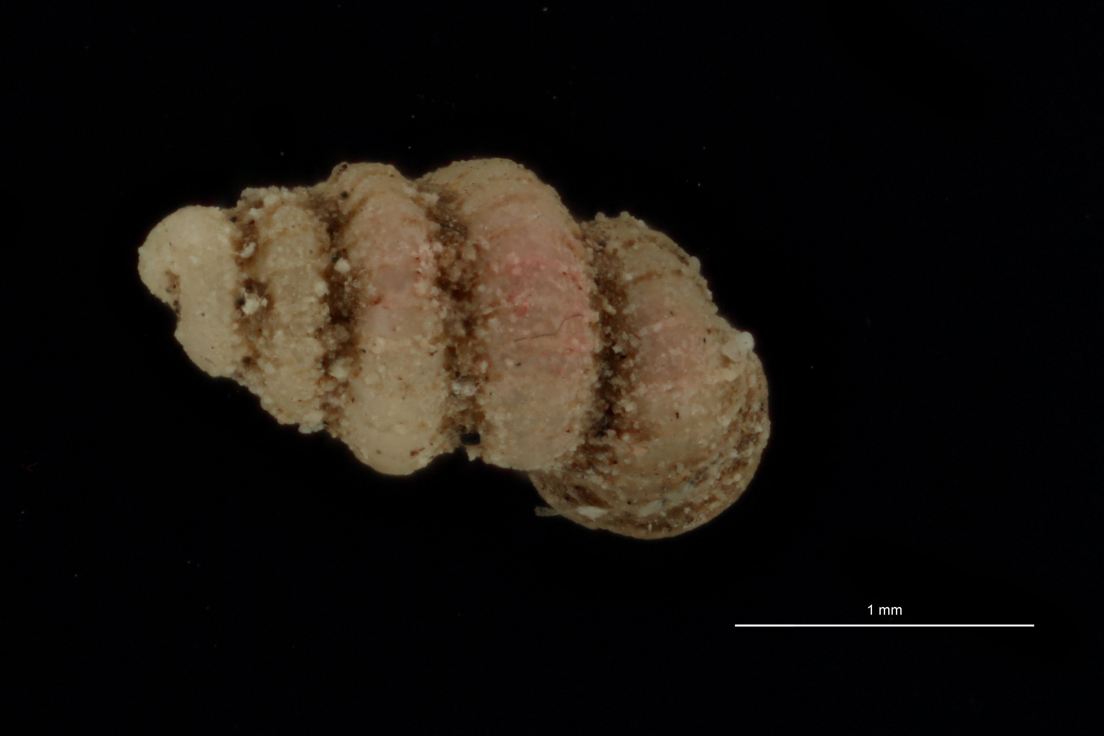 Diplommatina fluminus pt D.jpg