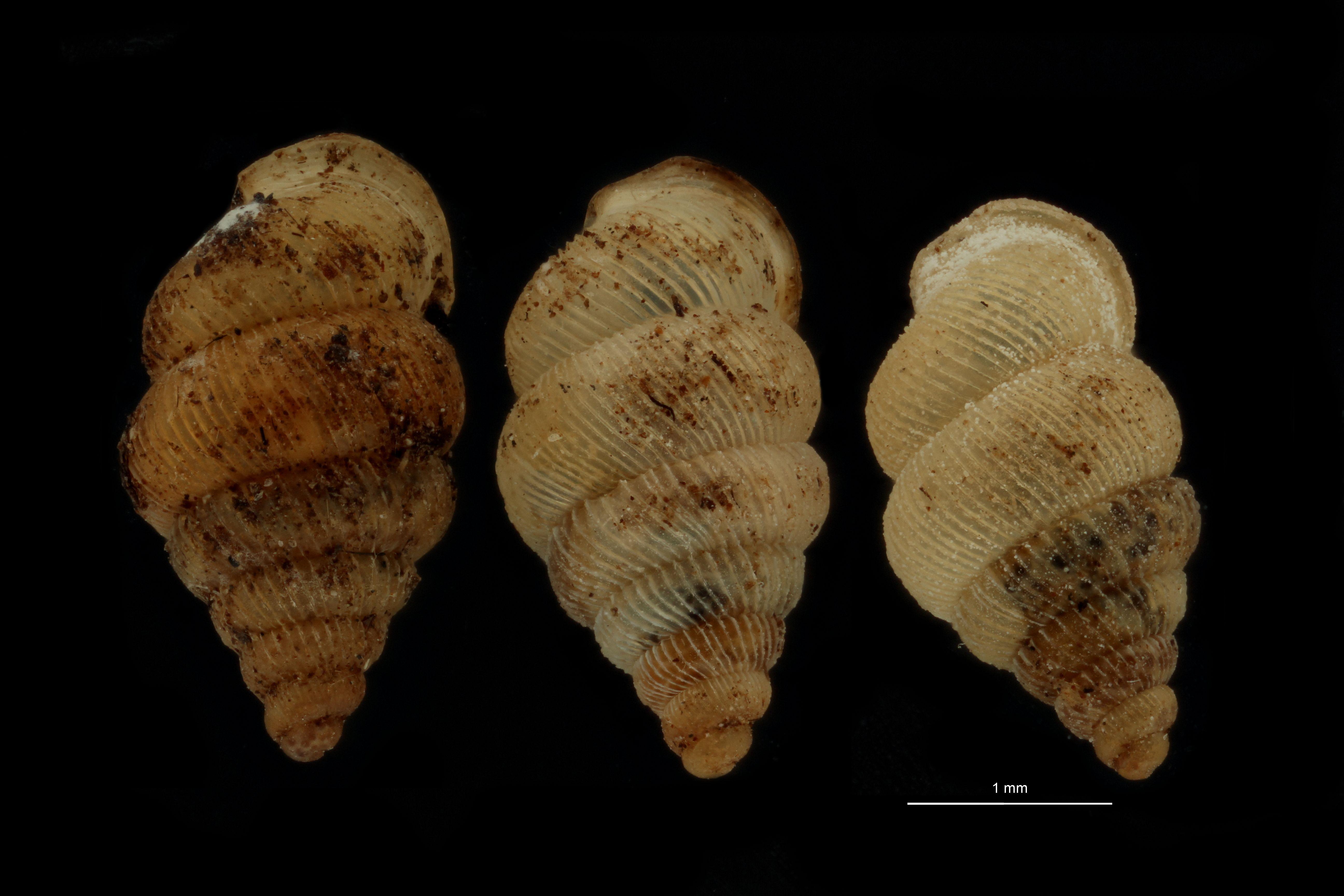 Diplommatina auriculata var biangulata pt GROUPE.jpg