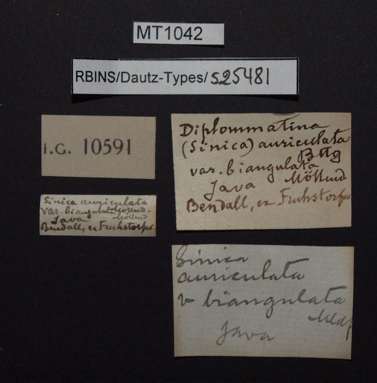 BE-RBINS-INV PARATYPE MT 1042 Diplommatina (Sinica) auriculata var. biangulata LABELS.jpg