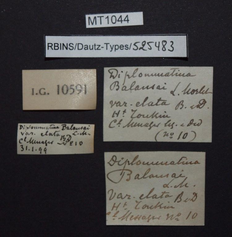 BE-RBINS-INV PARATYPE MT 1044 Diplommatina balansai var. elata LABELS.jpg