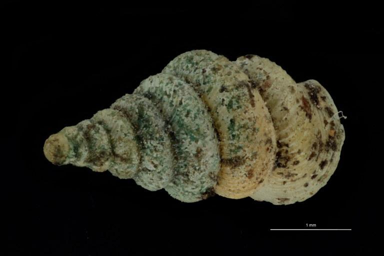 BE-RBINS-INV PARATYPE MT 1046 Diplommatina balansai var. robusta DORSAL.jpg